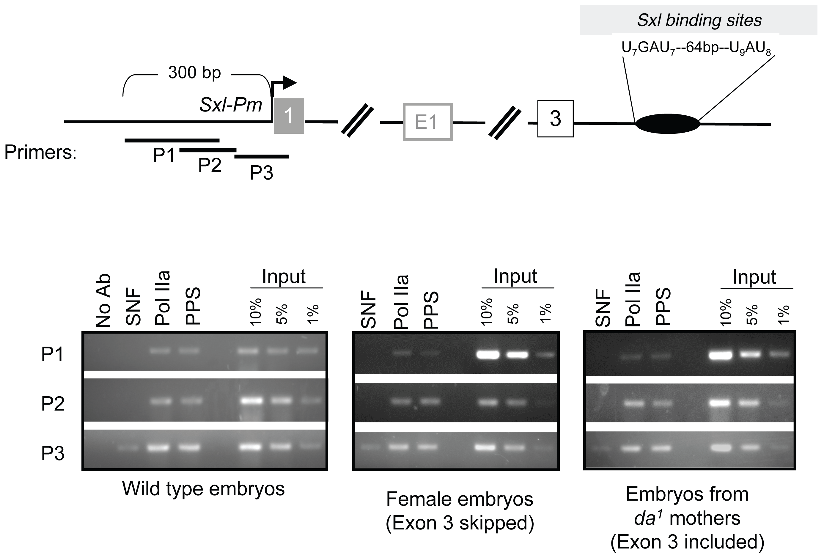 Accumulation of PPS near the <i>SxlPm</i> promoter in embryos.