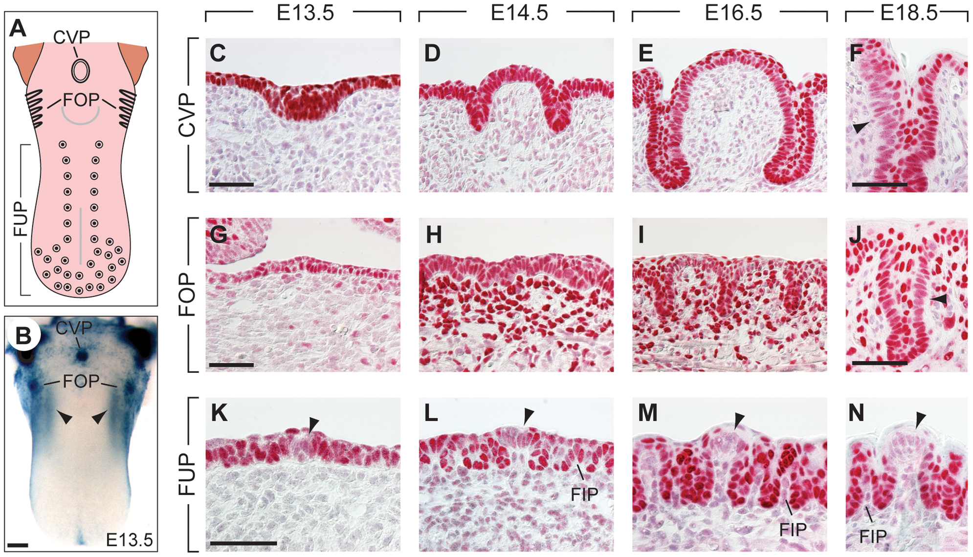 Expression patterns of Pax9 in different taste papillae of the embryonic mouse tongue.
