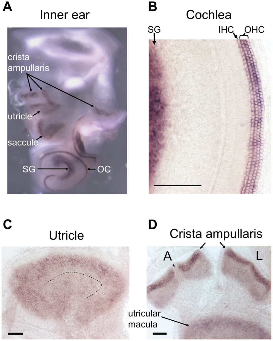 <i>In situ</i> hybridization of the mouse inner ear with an antisense Srrm4 probe.