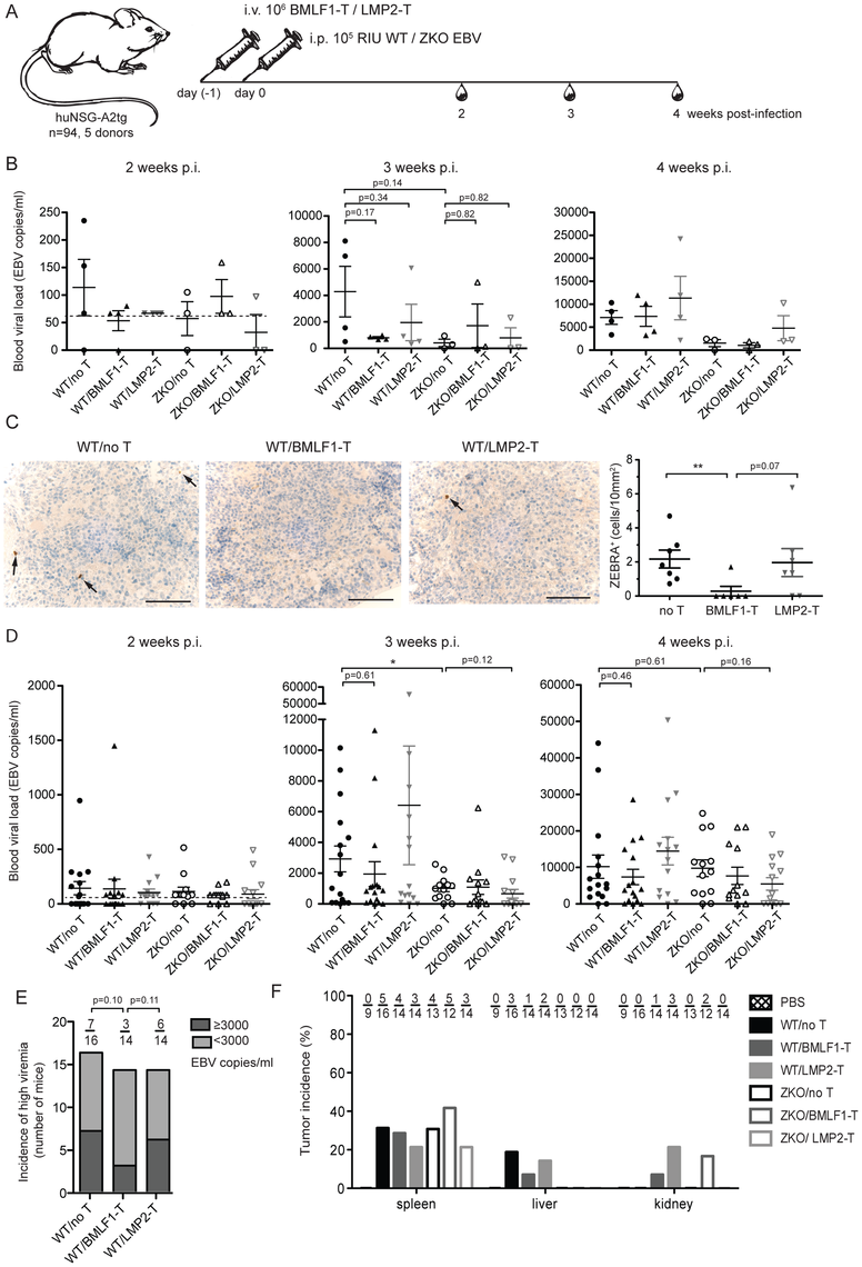 Lytic EBV antigen specific CD8<sup>+</sup> T cell clones can transiently control EBV infection in humanized mice.