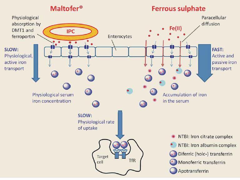 """Schéma 1. Maltofer (iron polymaltose complex – IPC) je absorbován pouze """"fyziologickou"""" cestou, tedy přes DMT1 (divalent metal transporter), a feroportinem uvolňován extracelulárně. Jeho uvolnění se děje z enterocytů aktivním způsobem, veškeré Fe je vázáno na transferin, a tedy neexistuje jako NTBI (non transferrin bound iron), které je zodpovědné za oxidativní stres buněk zažívacího traktu, a tedy nežádoucí účinky v podobě nauzey, průjmů a zvracení [8-10]. Rovněž není možná akumulace Fe v séru. Z výše uvedeného také vyplývá, že měření hladin Fe v séru k sledování úspěšnosti léčby p.o. železem není dobrým markerem, spíše ukazuje na difundované Fe, nikoli kolik jej bylo využito pro hemoglobin. Scheme 1. Maltofer (iron polymaltose complex – IPC) is only absorbed """"physiologically"""", i.e. it is released extracellularly via DMT1 (divalent metal transporter) and ferroportin. Its release from enterocytes occurs actively, all Fe is bound to transferrin and therefore there is no NTBI (non-transferrin bound iron) form, which is responsible for oxidative stress in the cells of the digestive tract and adverse effects such as nausea, diarrhoea and vomiting [8-10]. No accumulation of Fe in serum is possible. The above also shows that the measurement of fasting serum Fe in order to monitor the success of treatment with oral Fe is not a good marker; it rather indicates diffused Fe, not Fe incorporated in the haemoglobin molecule."""