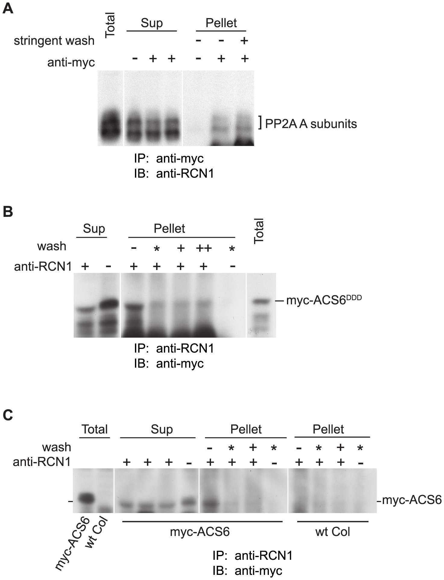 PP2A interacts with ACS6 in reciprocal co-immunoprecipitations.