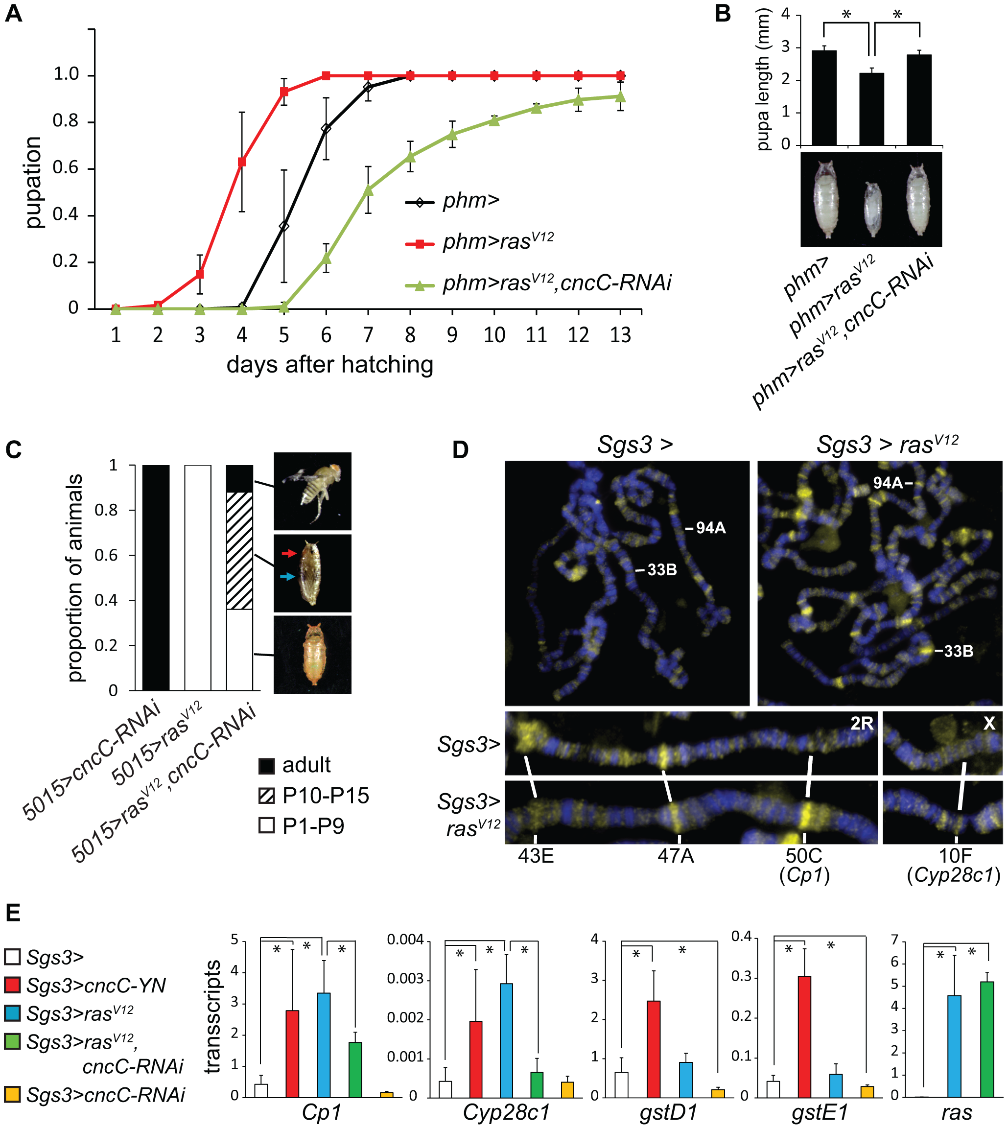 Interrelationships between Ras signaling and CncC functions.
