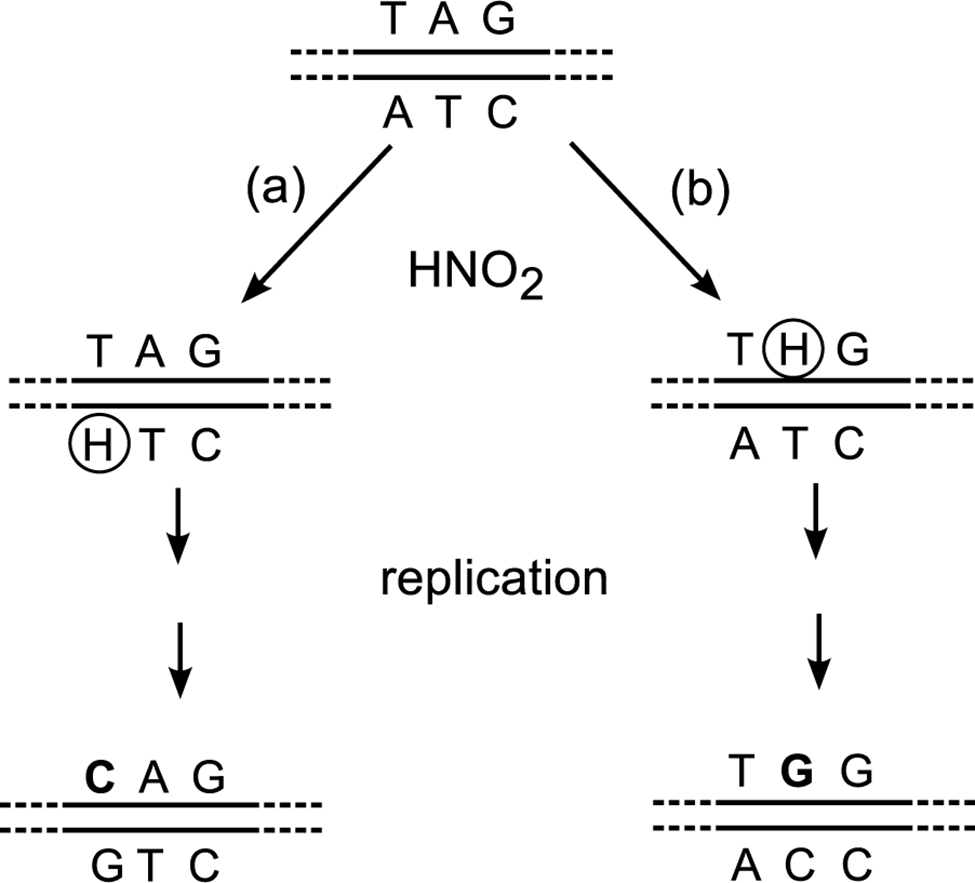 Different sequences produced by nitrosative deamination of adenine on the (a) TS or (b) NTS.