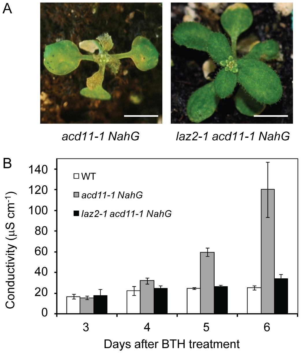<i>laz2</i> suppresses cell death in <i>acd11</i>.