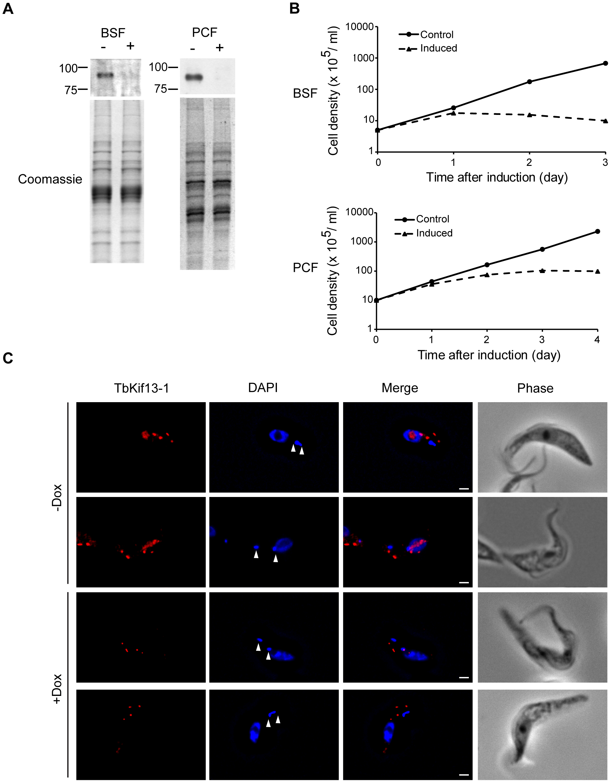 TbKif13-1 is an essential protein in trypanosomes.