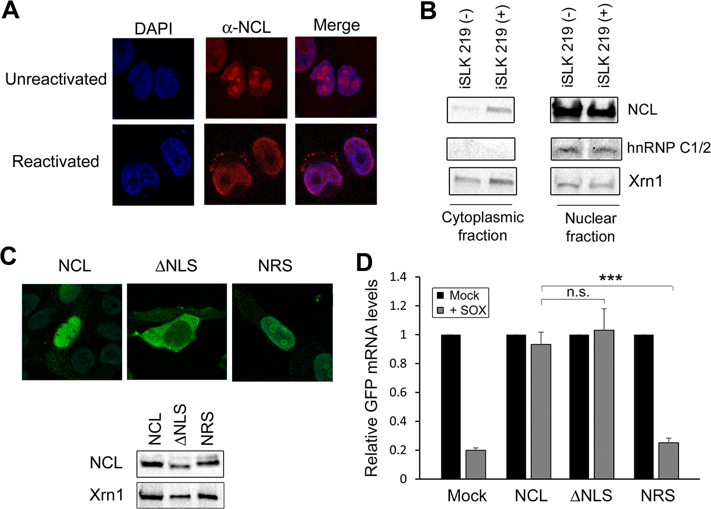 NCL is relocalized to the cytoplasm where it is required for IL-6 escape.