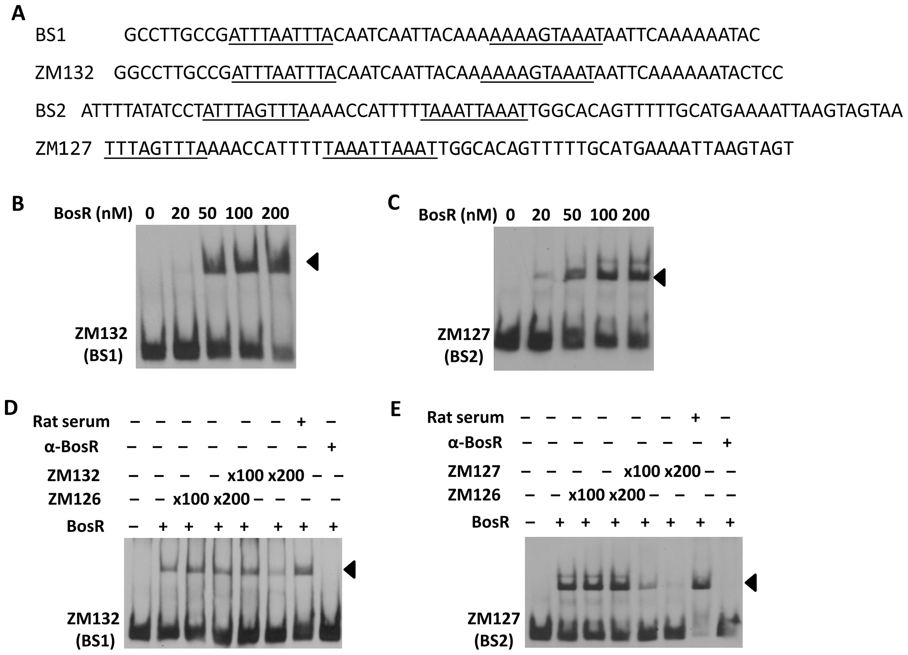 Binding of BosR to various probes containing the DNase-I protected regions.