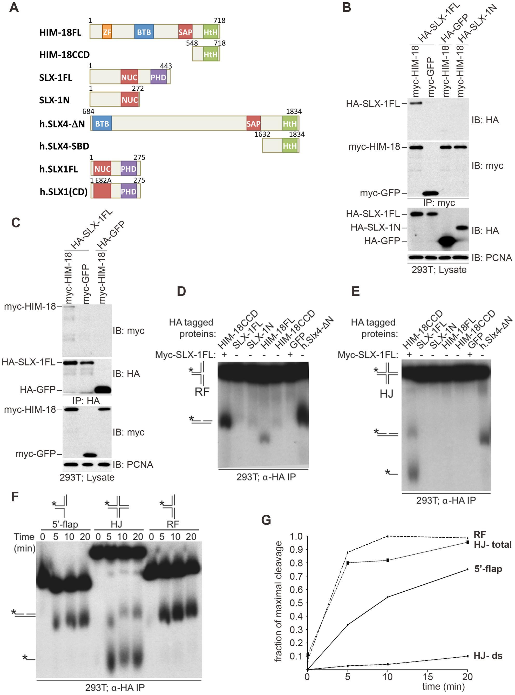 <i>C. elegans</i> SLX-1 cleaves branched substrates in a HIM-18–dependent manner.