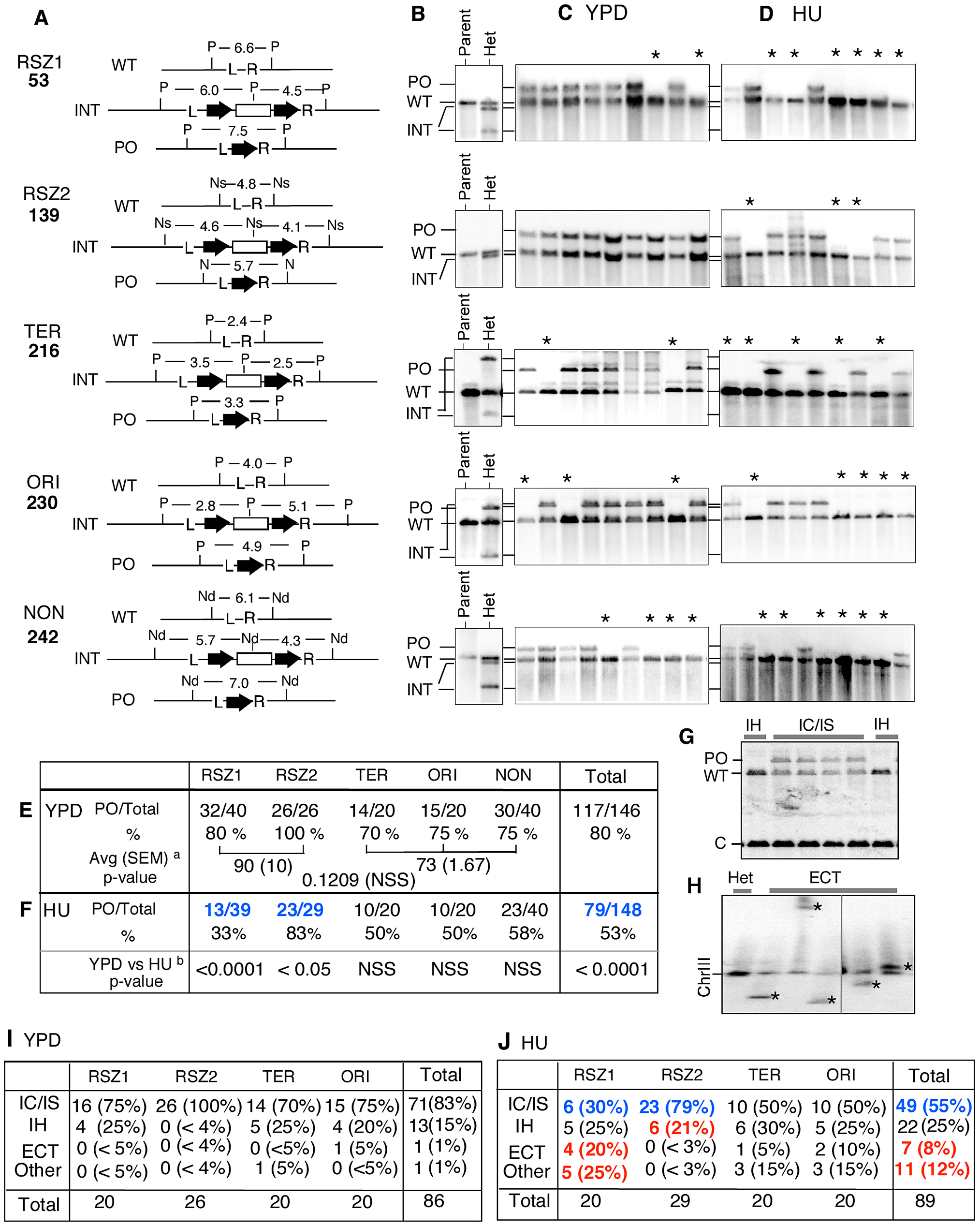 Intrachromatid and intersister (IC/IS) bias in <i>URA3</i> inactivation.