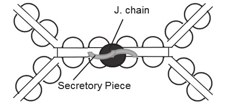 Fig. 4. Secretory IgA (dimer)