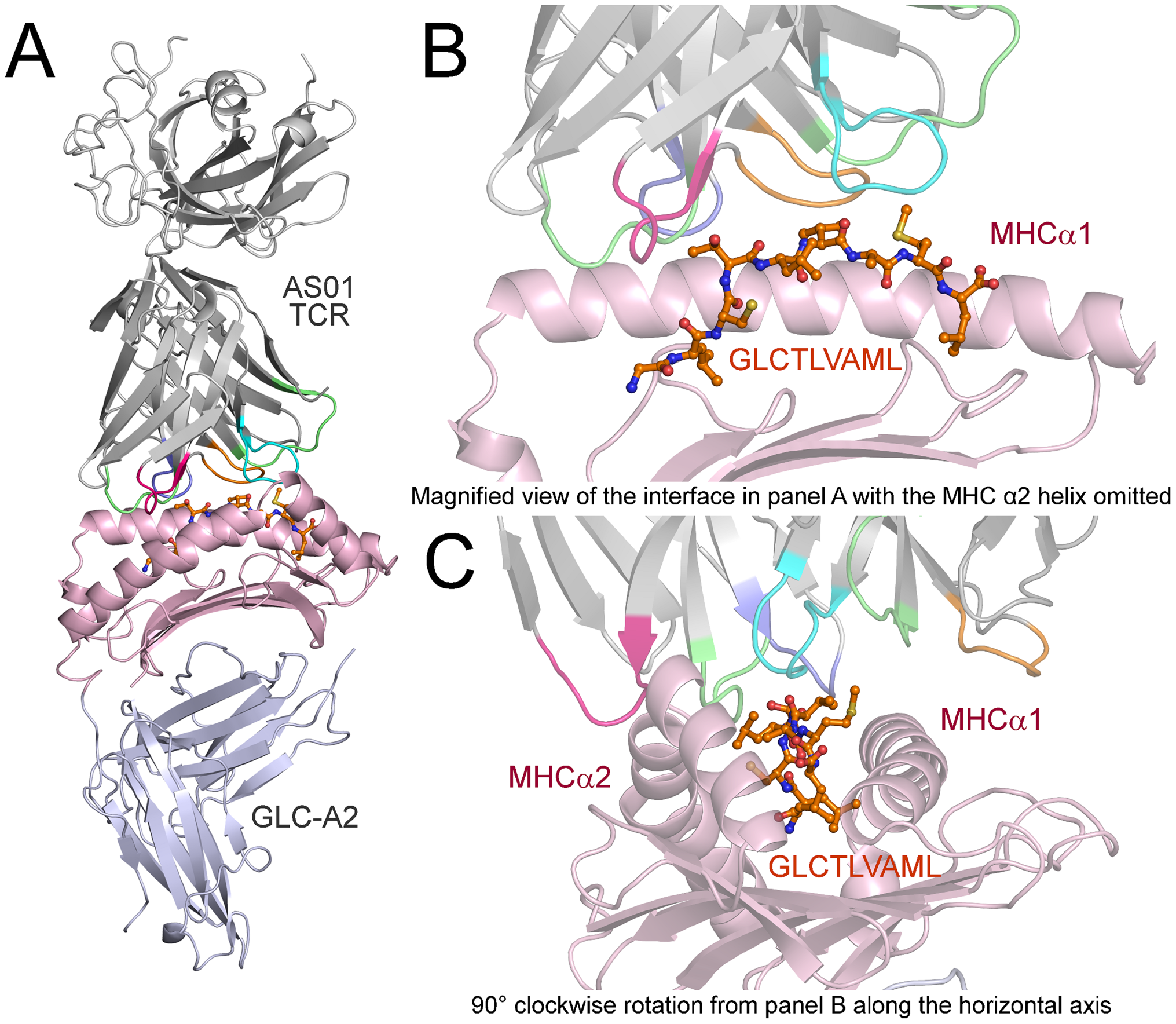 Overview of the AS01-GLC-A2 complex structure.