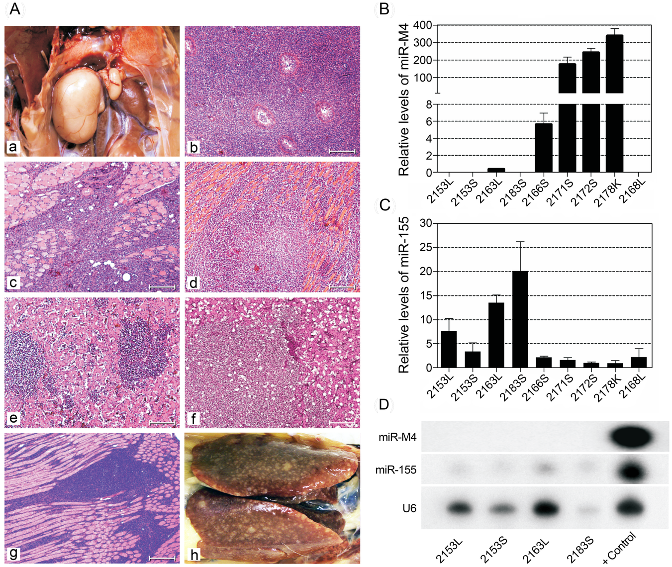 Pathological lesions and expression of miRNAs in tumors induced by MDV.