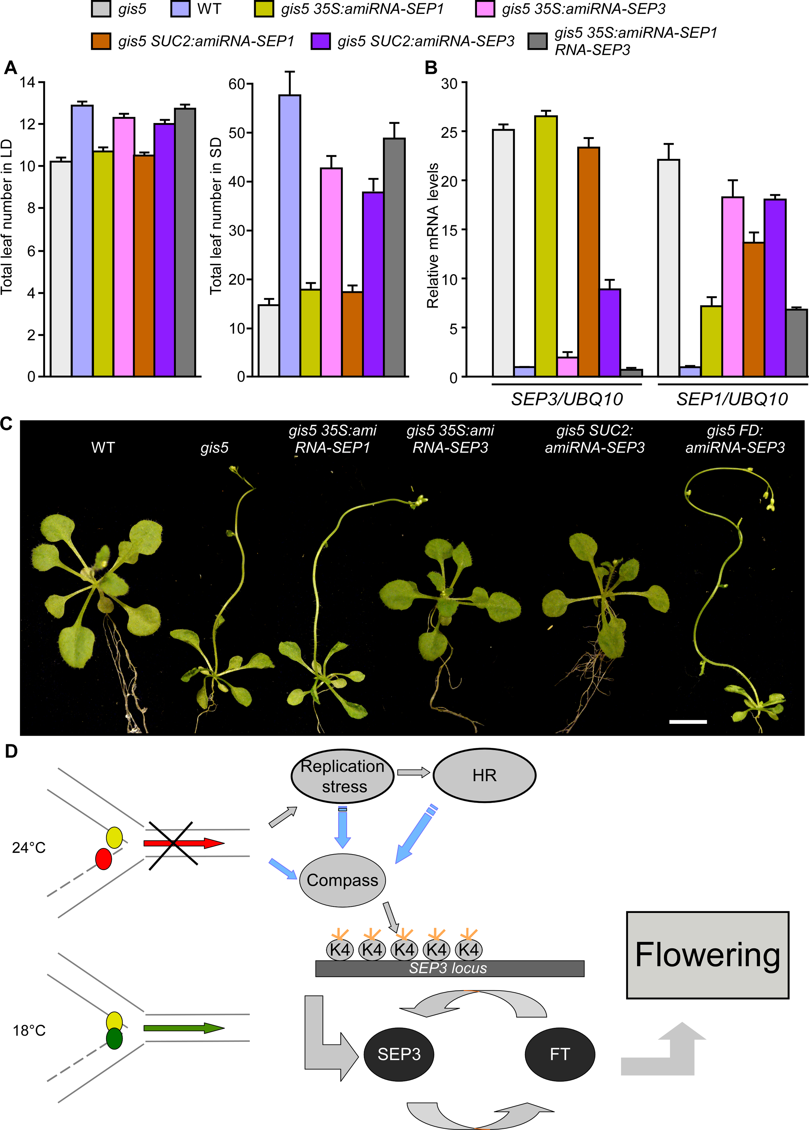 High levels of <i>SEP3</i> expression are required for <i>gis5</i> early flowering and leaf phenotype.
