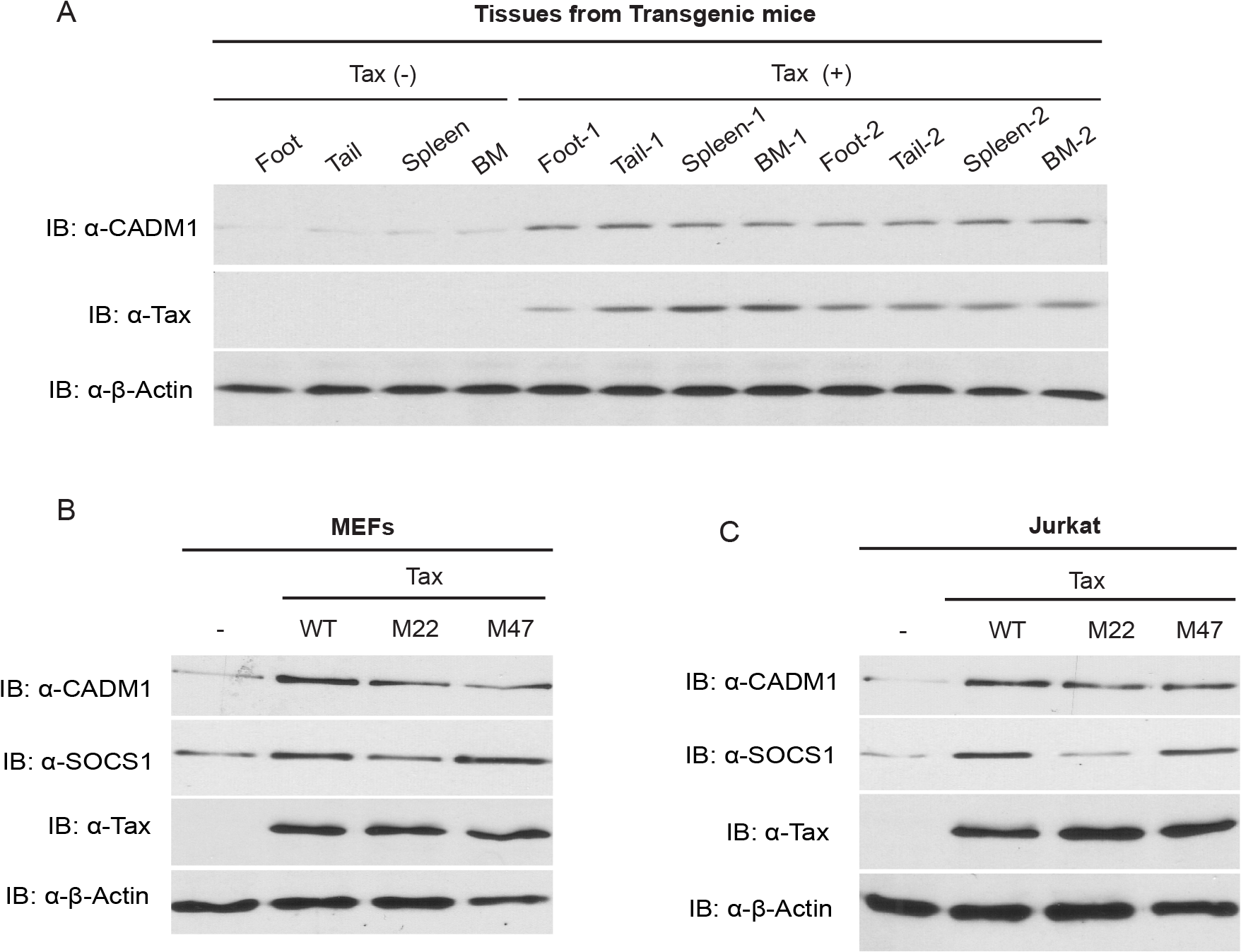 Tax induces CADM1 expression.