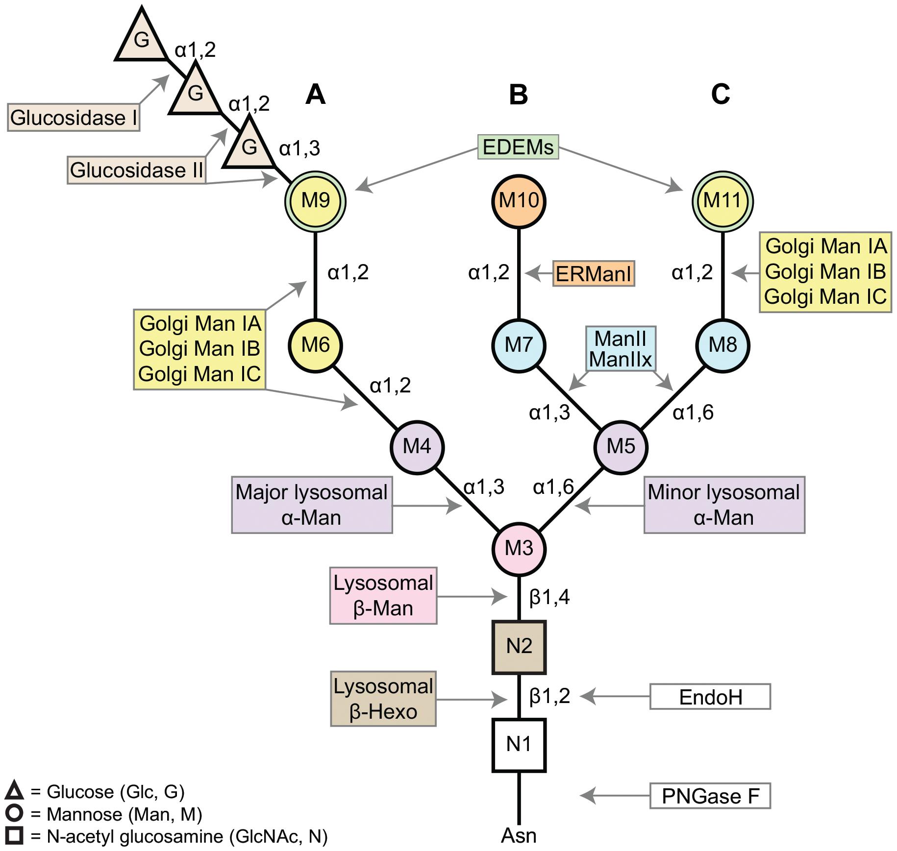 A schematic of the asparagine (Asn, N)-linked oligosaccharide precursor, Glc<sub>3</sub>Man<sub>9</sub>GlcNAc<sub>2</sub>.