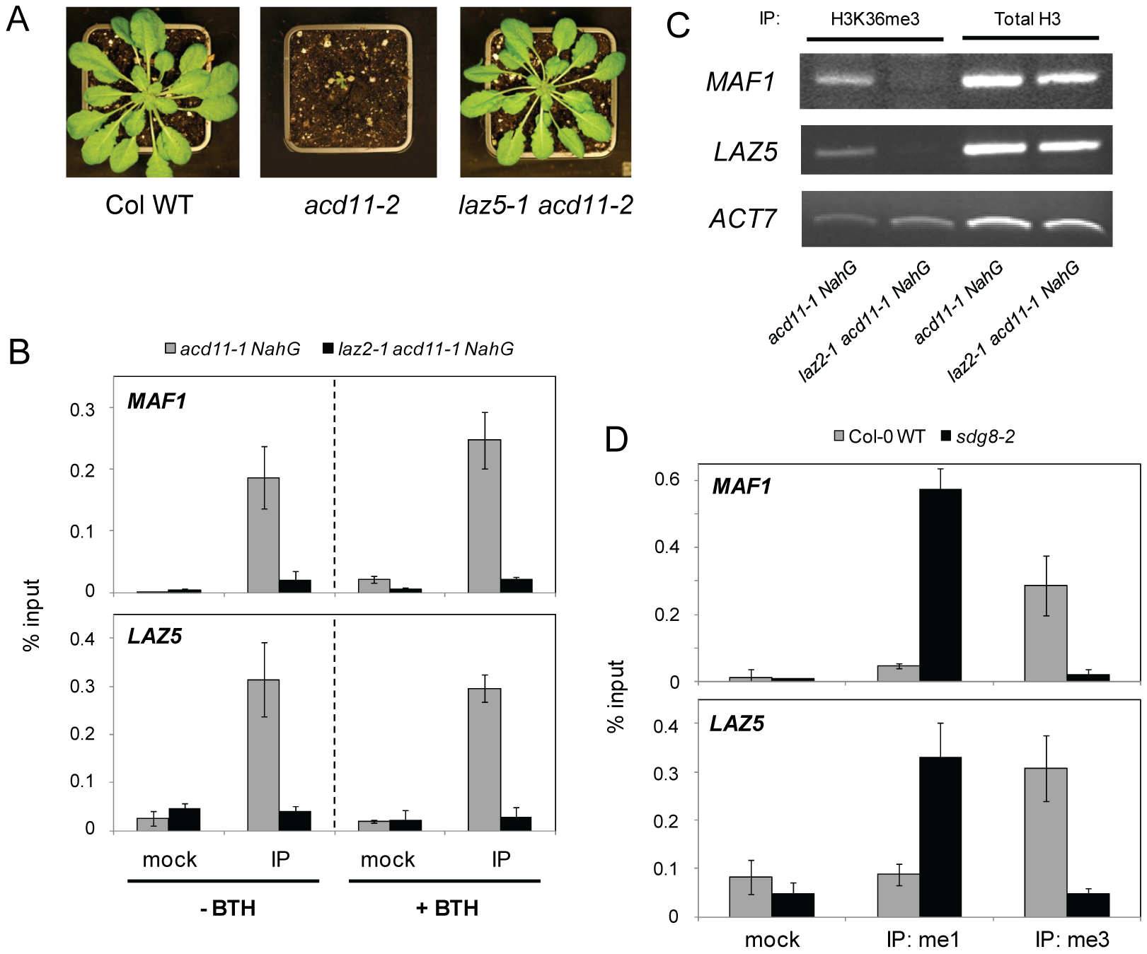 SDG8 regulates LAZ5 and modifies chromatin at the <i>LAZ5</i> locus.