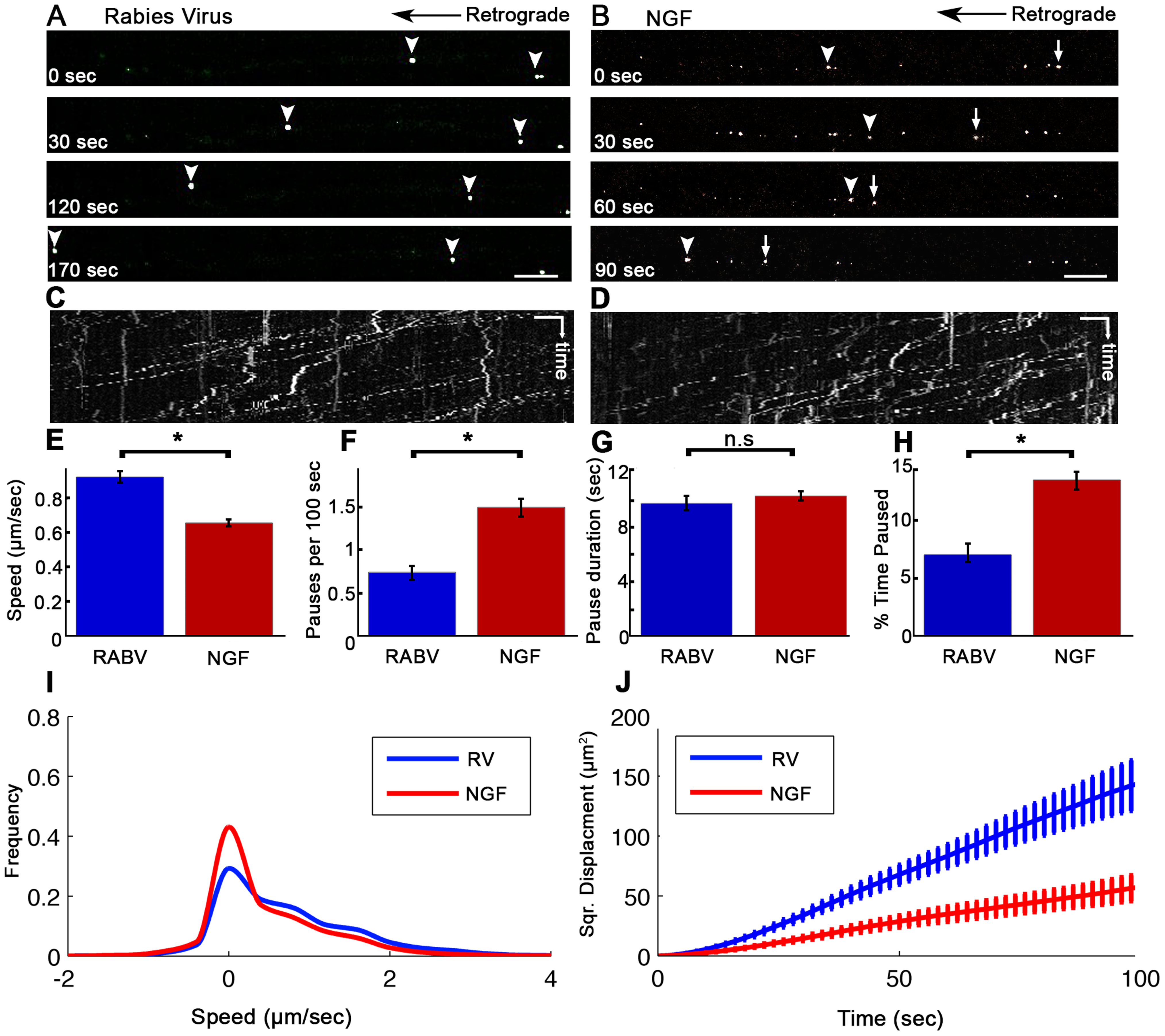 Rabies virus retrograde transport in DRG is faster and more directed than that of NGF.