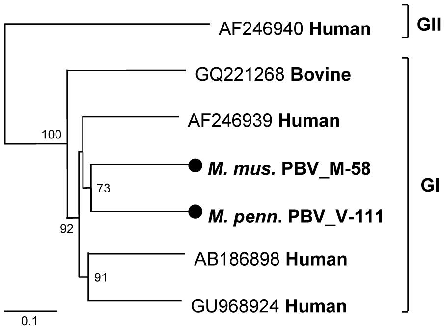 Phylogenetic analysis of rodent picobirnaviruses.