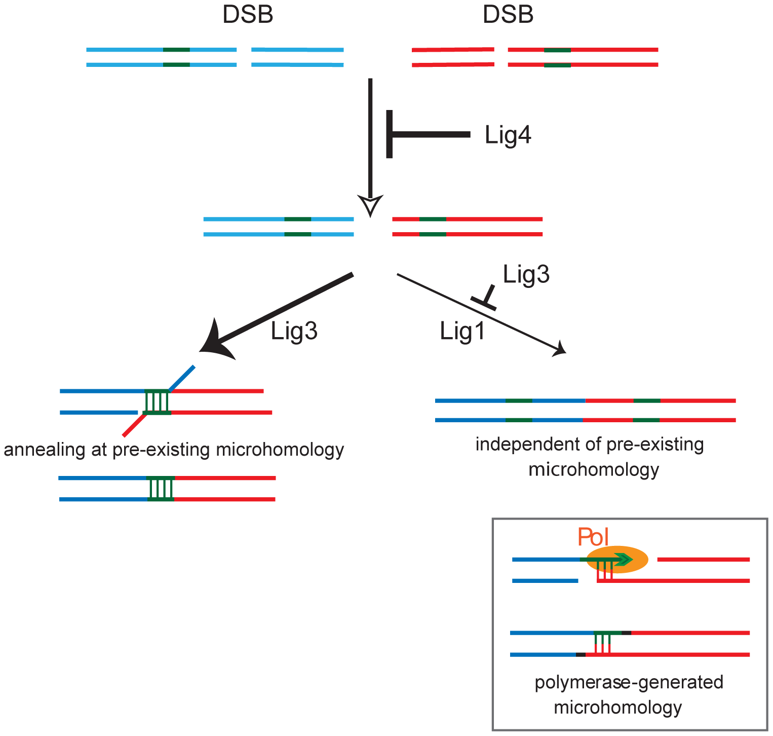 Model for the role of the three mammalian DNA ligases in chromosomal translocation formation in mouse cells.