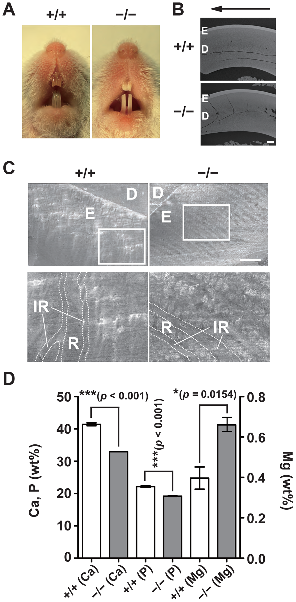 Hypomineralization of the tooth enamel in CNNM4-knockout mice.