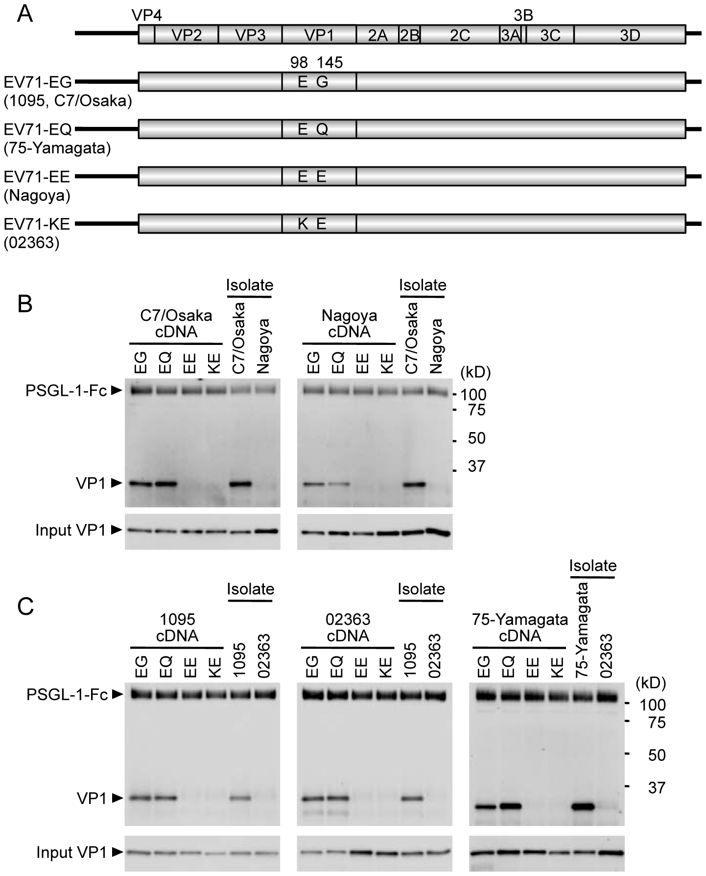Co-precipitation analysis of EV71 mutants with soluble PSGL-1-Fc.