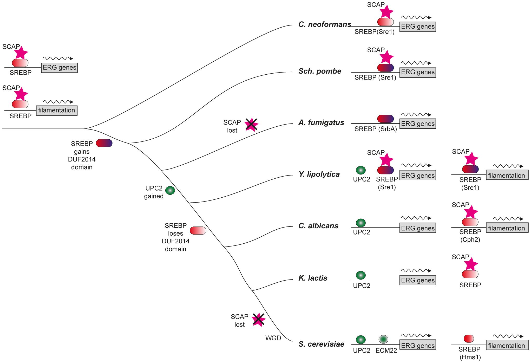 Model of sterol regulon evolution in Saccharomycotina.