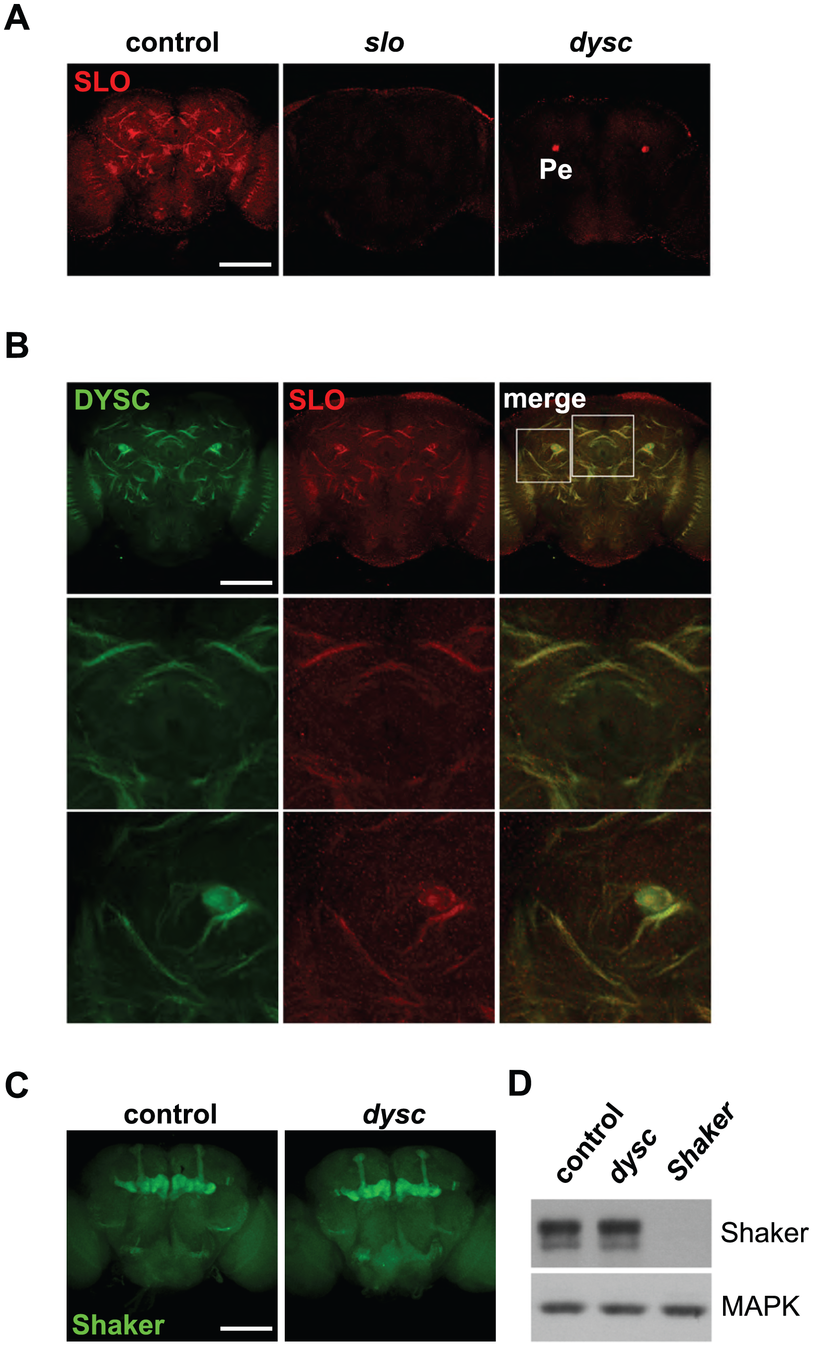 DYSC regulates expression of SLO.