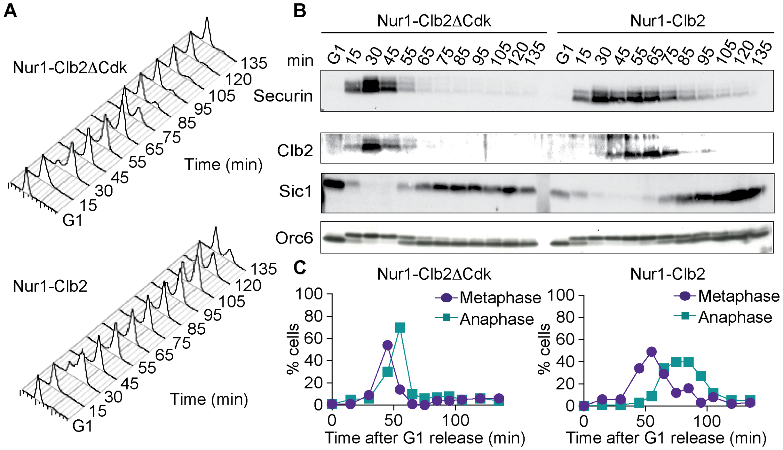 Nur1-Clb2 causes a mitotic exit defect.