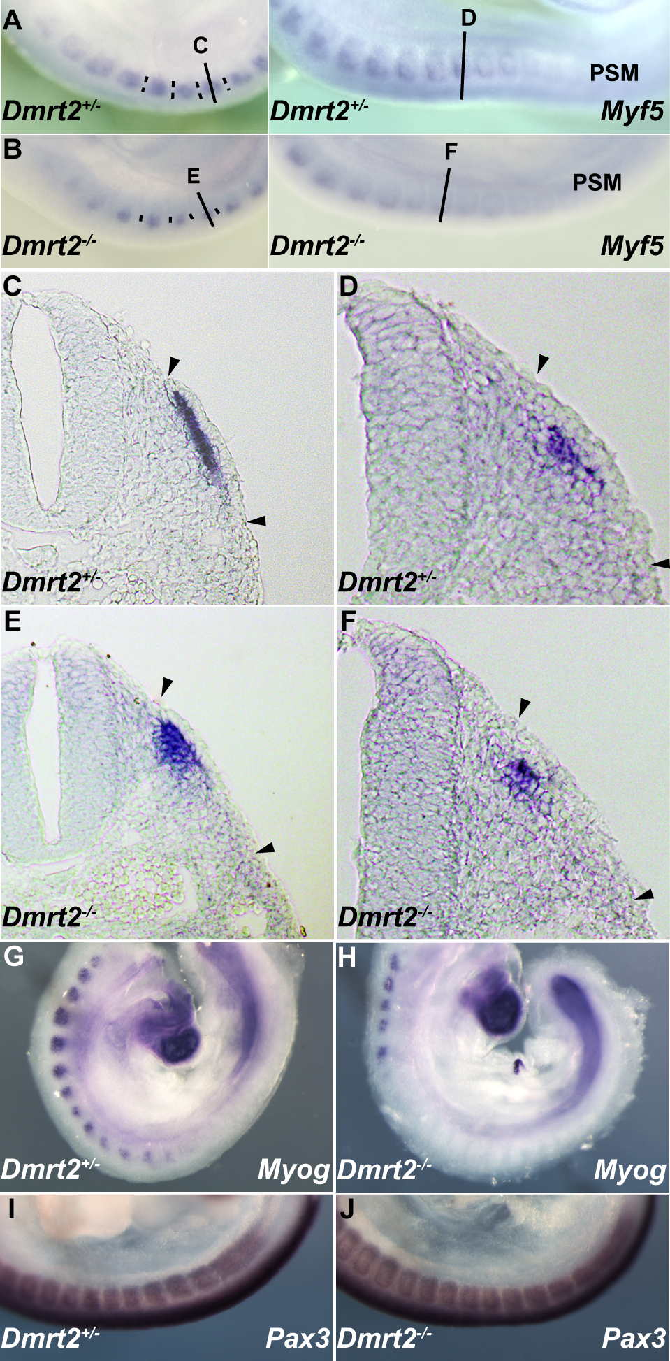Dmrt2 is required for the maturation of the epaxial somite, where <i>Myf5</i> is first expressed.