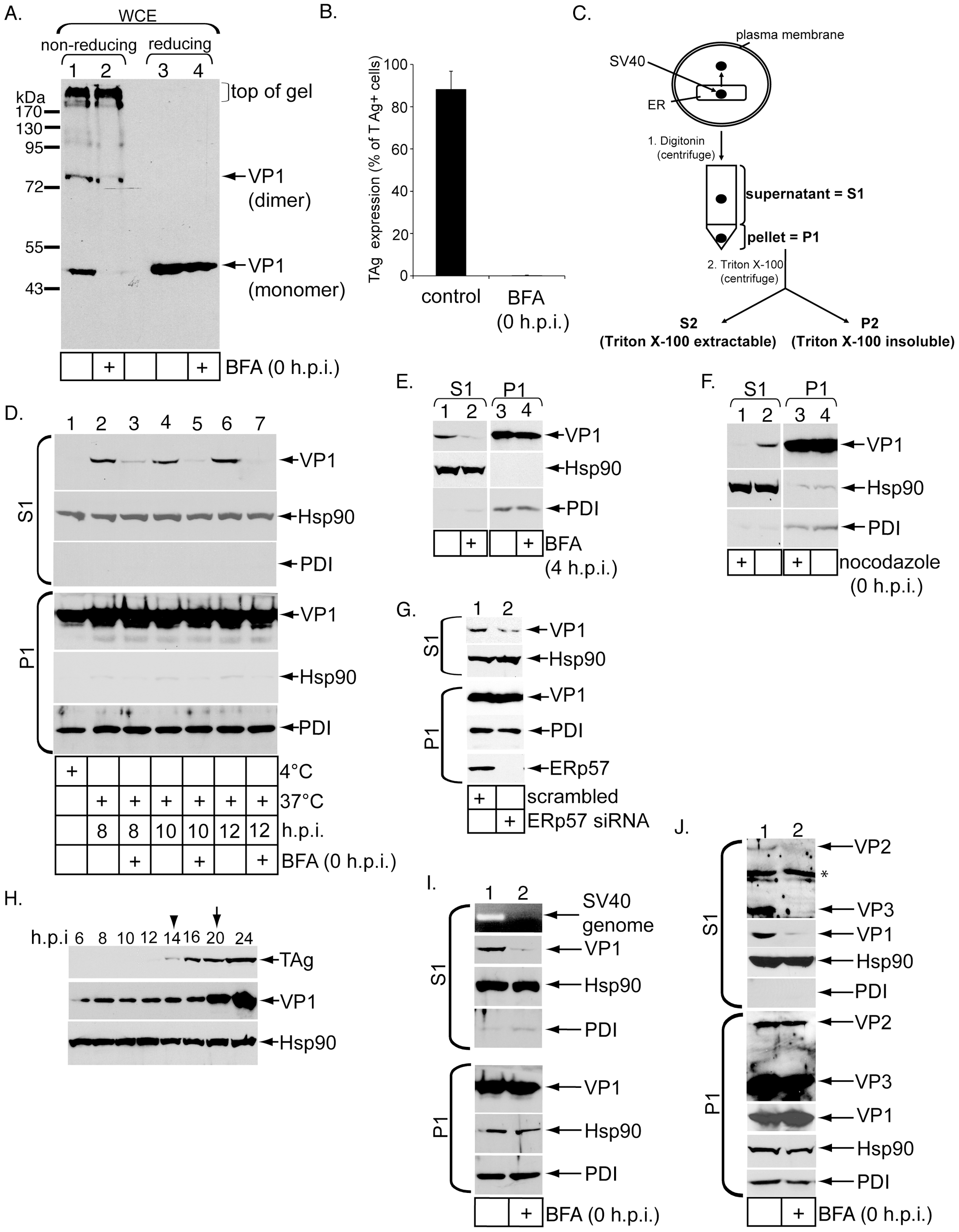 Establishment of a cell-based ER-to-cytosol membrane penetration assay for SV40.
