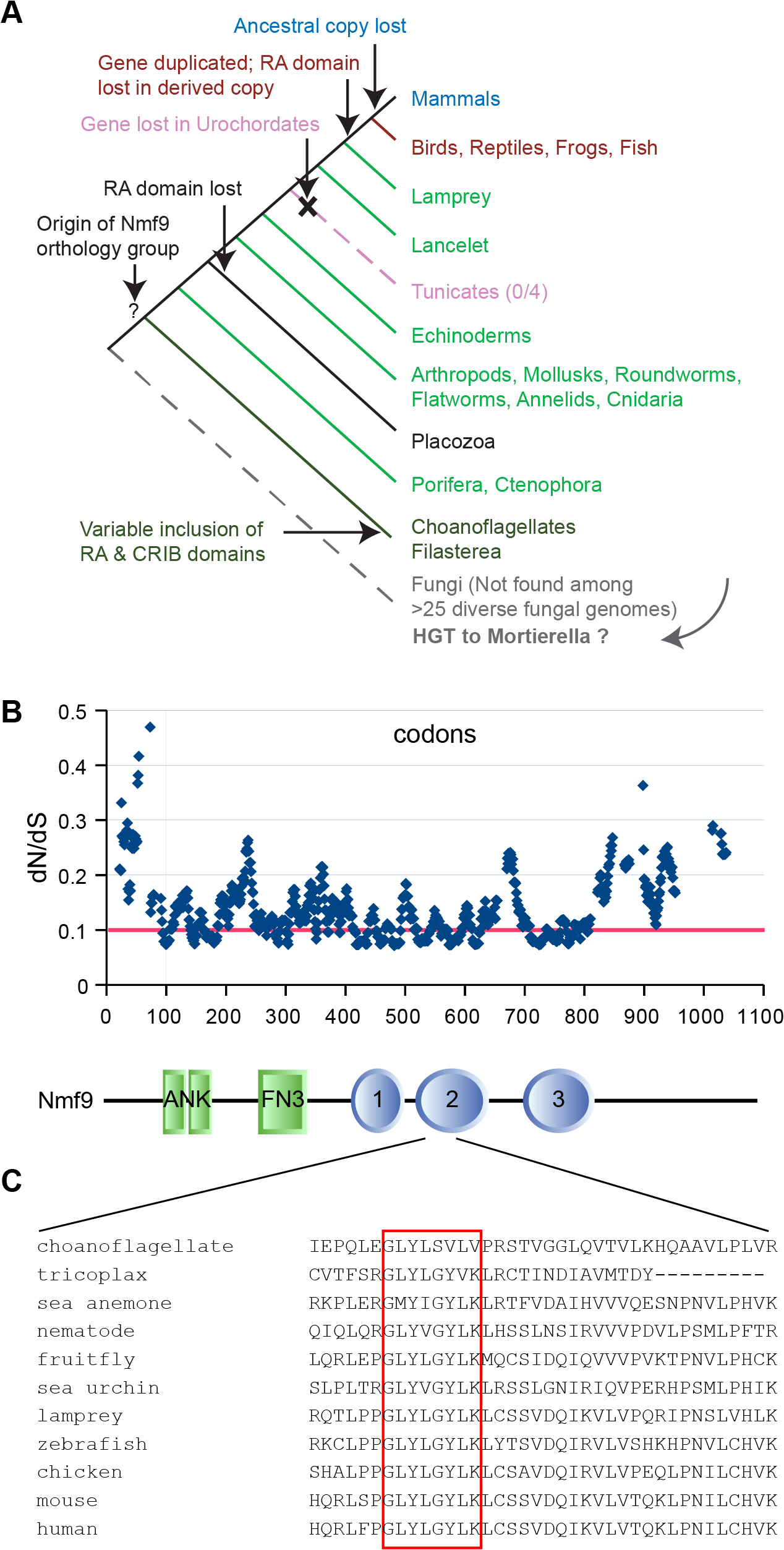 Nmf9 protein is highly conserved in Metazoans.