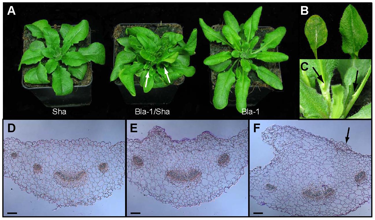 Adaxial outgrowths in Bla-1/Sha hybrids.