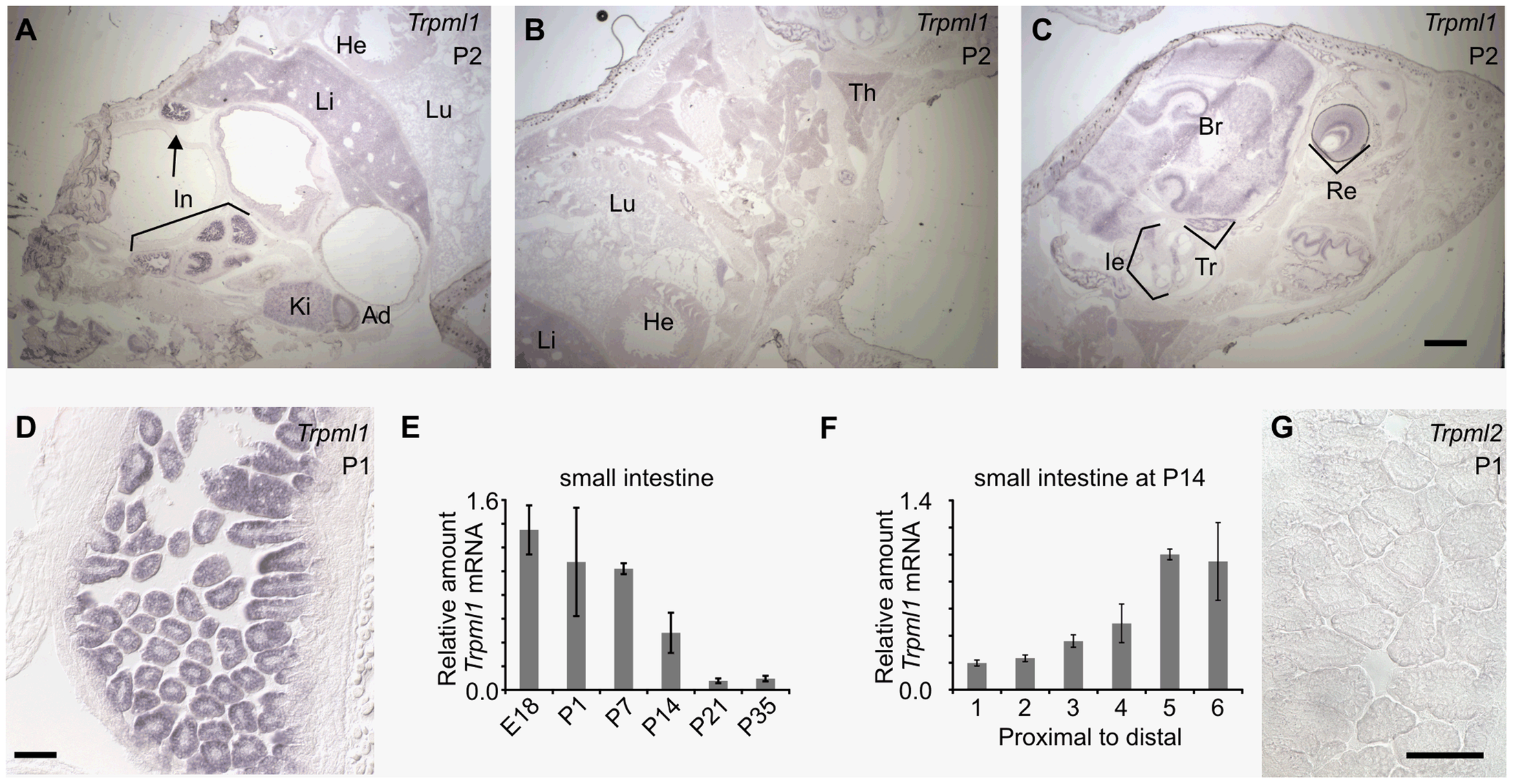 Neonatal intestines upregulate mRNA levels of mucolipin 1 (<i>Trpml1</i>), but do not express mucolipin 2 (<i>Trpml2</i>).