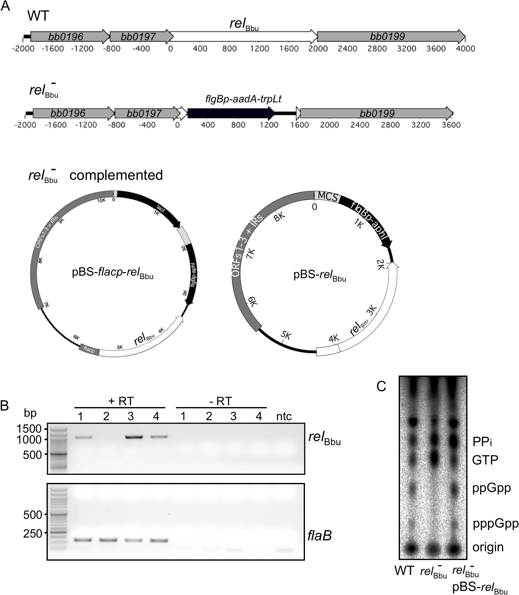 Mutation and complementation of <i>rel</i><sub>Bbu</sub> in <i>B</i>. <i>burgdorferi</i>.