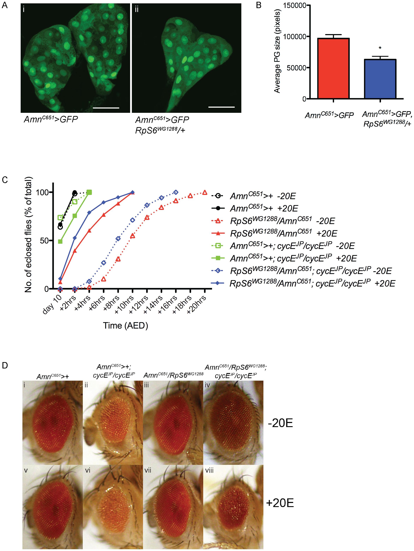 <i>RpS6</i> mutant larvae have smaller prothoracic glands and an ecdysone dependent developmental delay.