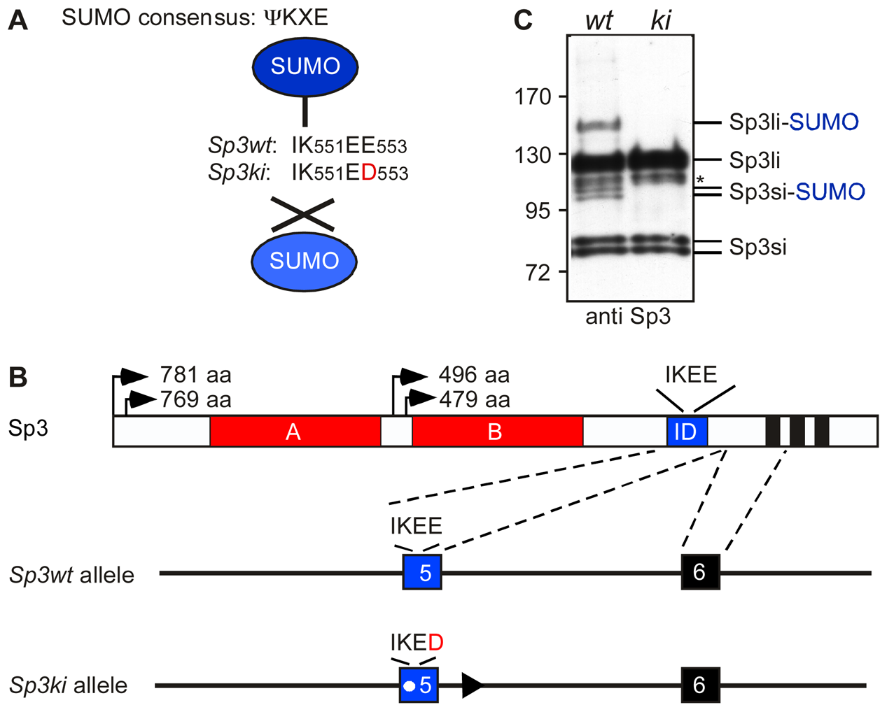 Targeting of the mouse Sp3 SUMO attachment site.