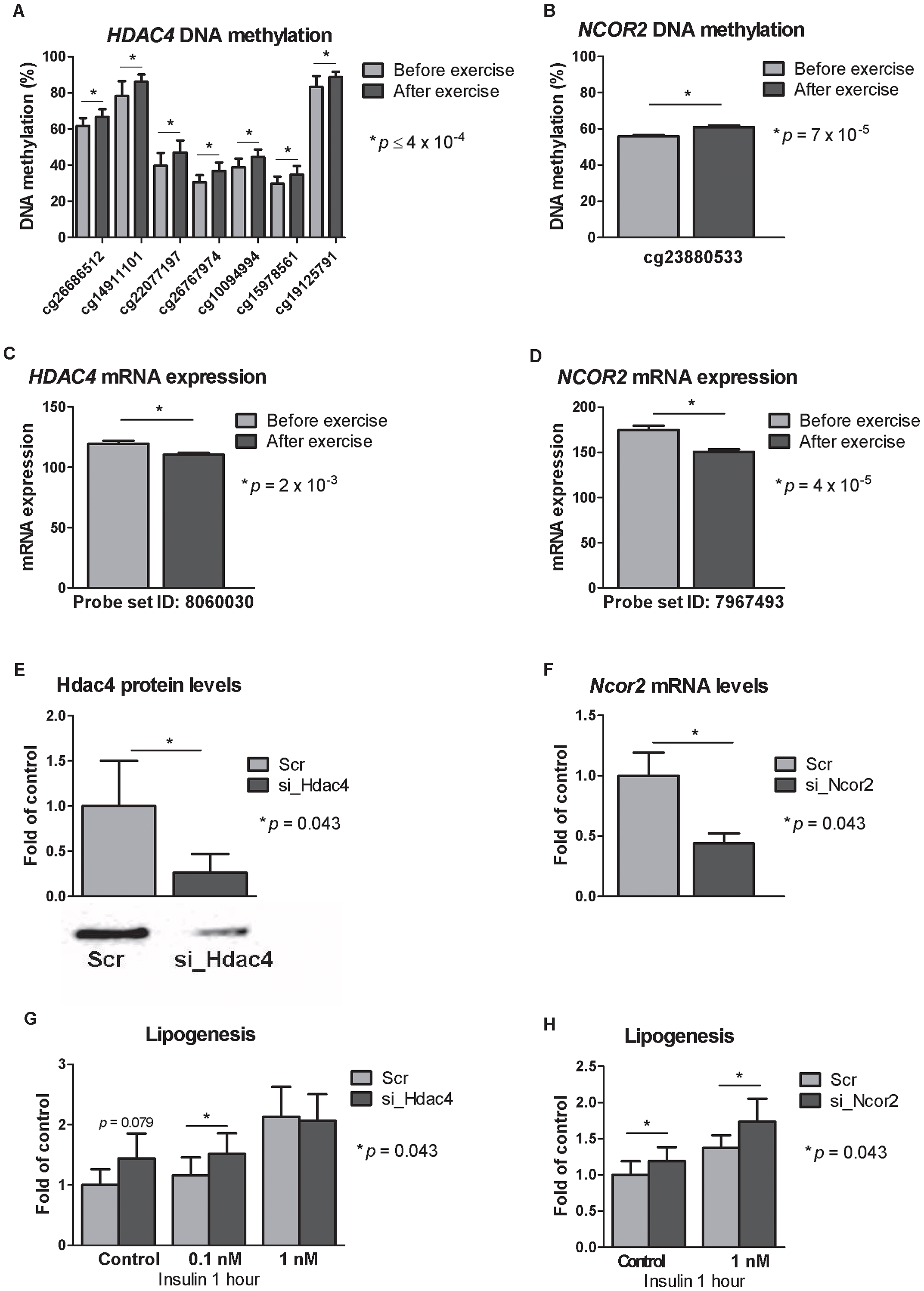 Silencing of Hdac4 and Ncor2 in 3T3-L1 adipocytes results in increased lipogenesis.
