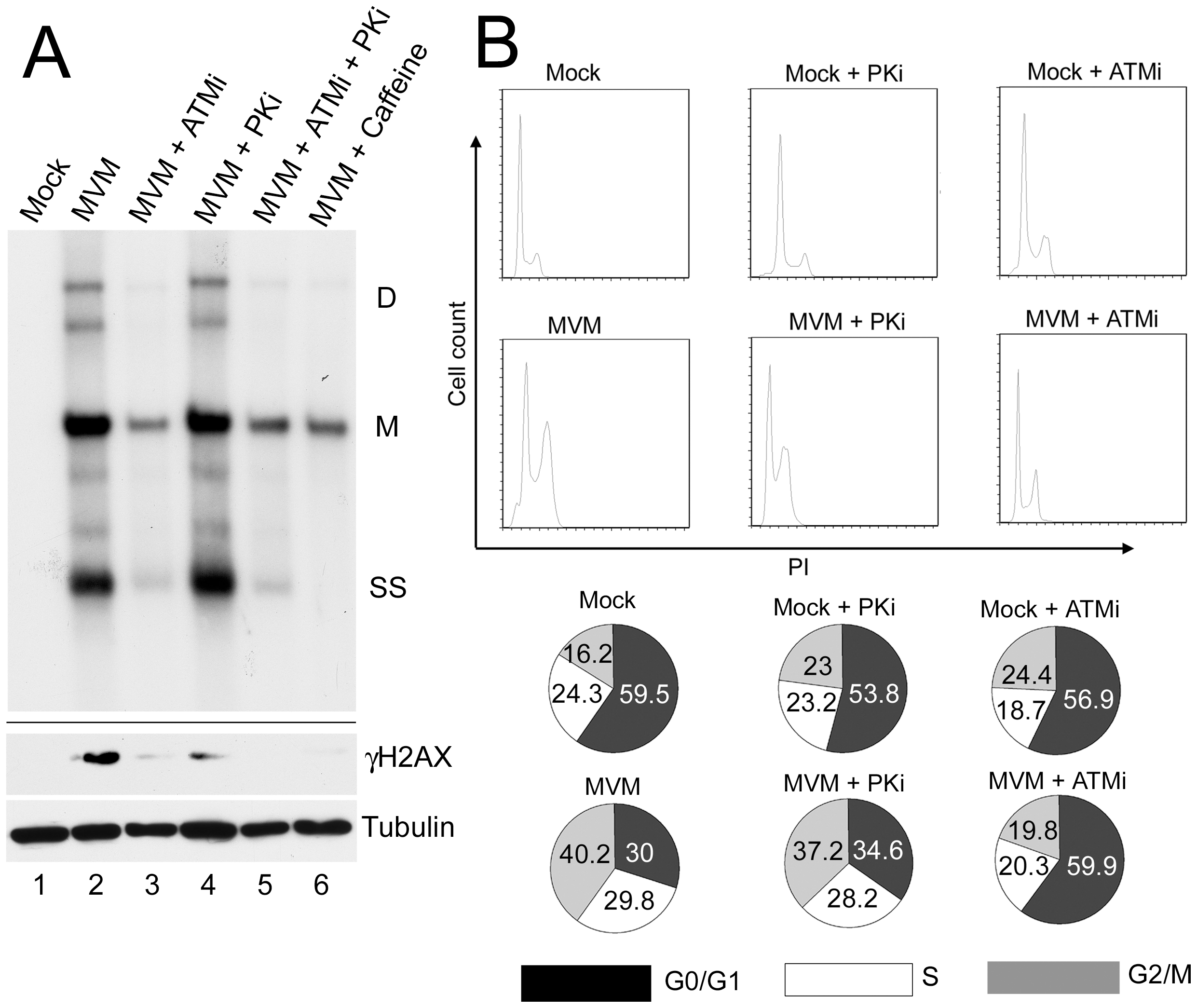 ATM kinase activity is required for efficient MVM replication.