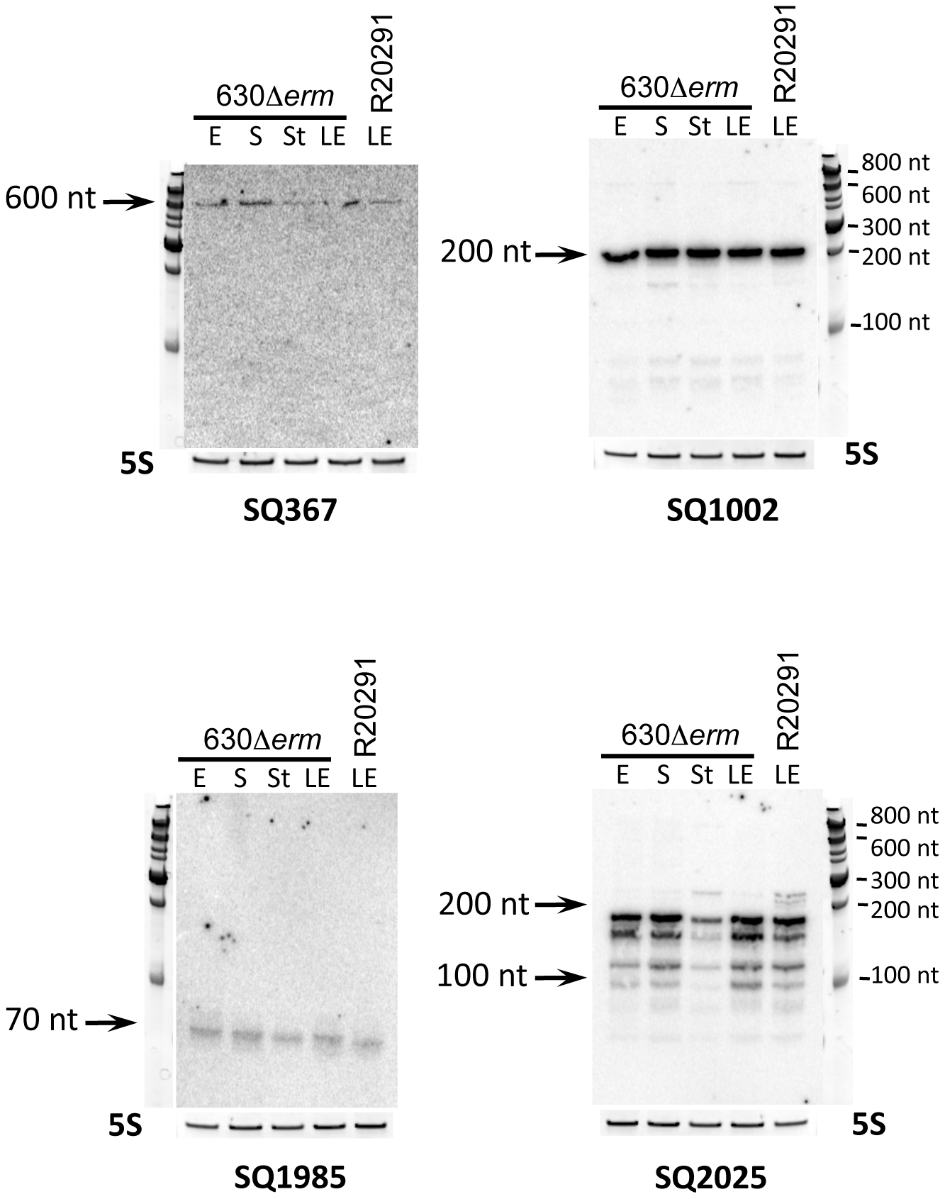 Experimental validation of <i>in silico</i> identified sRNAs.