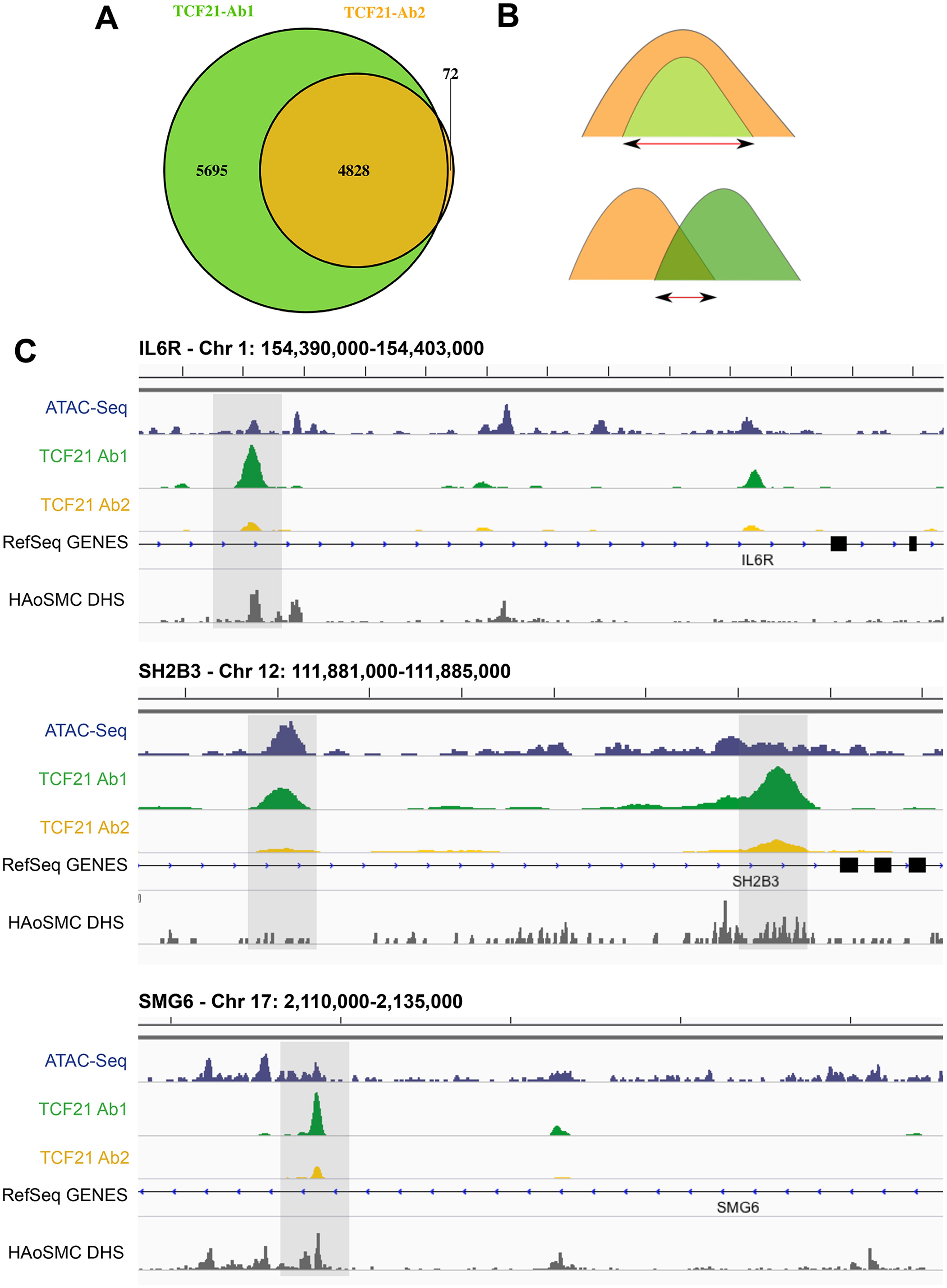 Two TCF21 antibodies show overlapping patterns of TCF21 chromosomal binding.