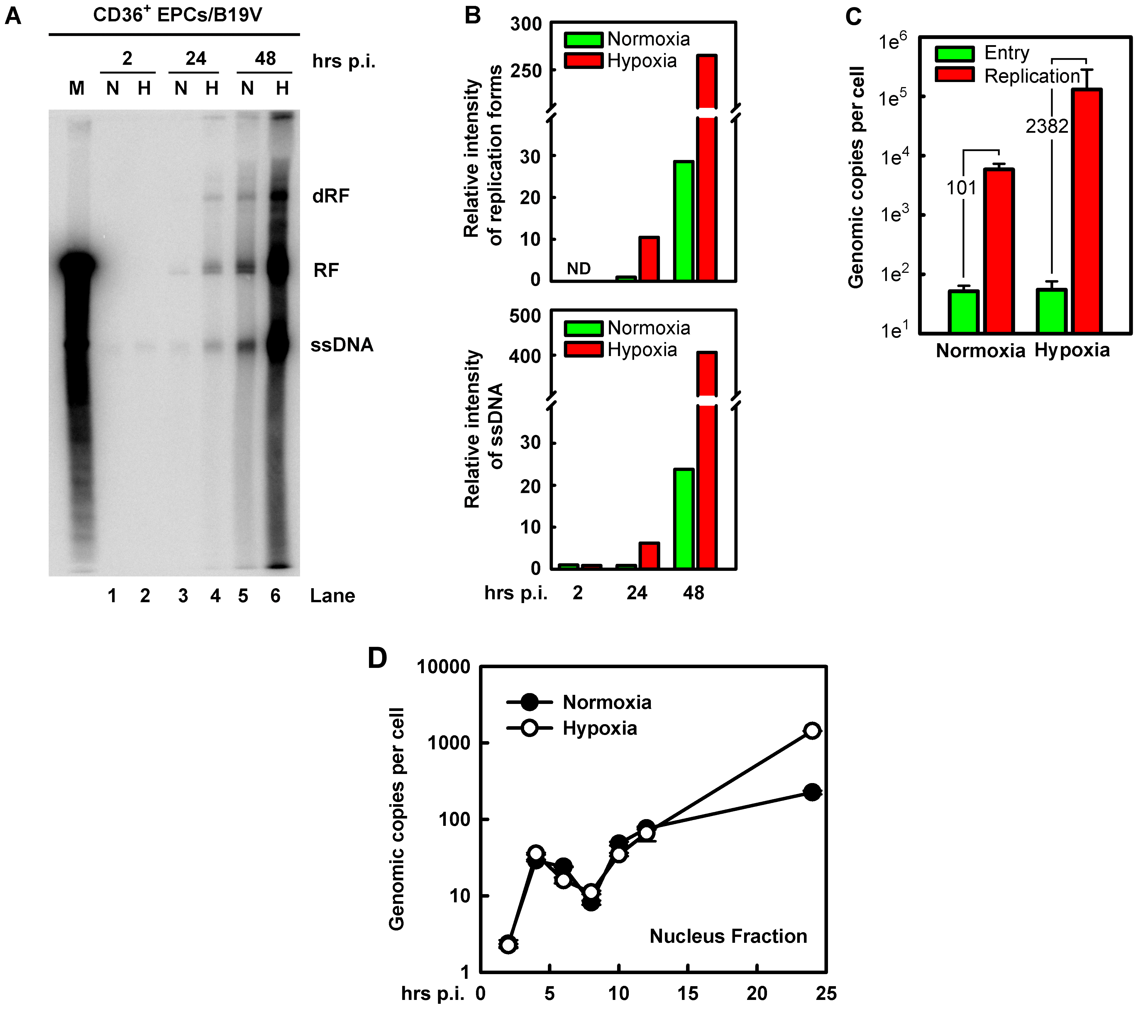 B19V DNA replication, virus entry and intracellular trafficking in CD36<sup>+</sup> EPCs under hypoxia <i>vs.</i> normoxia.