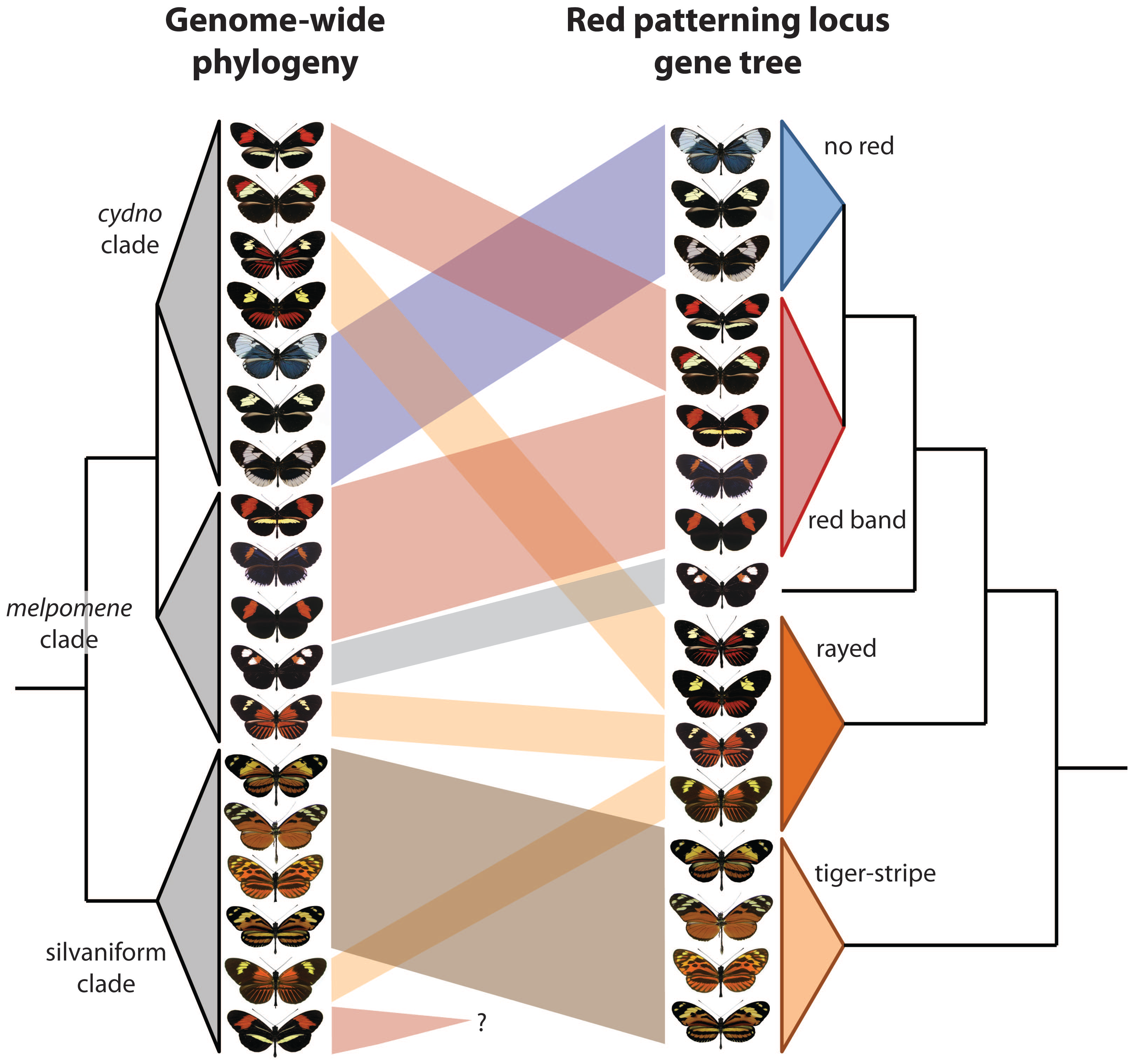 Two new papers show that wing patterning has been swapped among <i>Heliconius</i> butterfly species via introgressive hybridization.