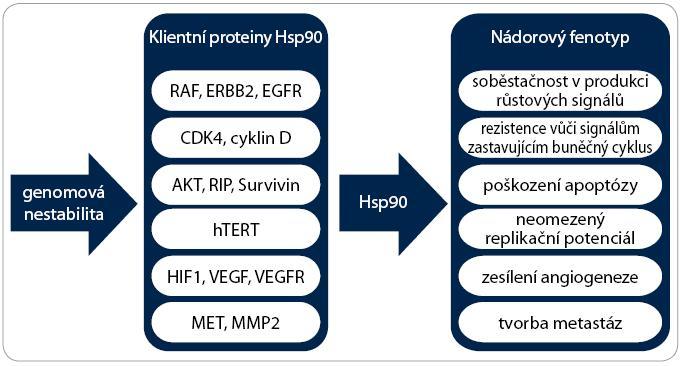Význam Hsp90 pro vznik nádoru. Schéma zobrazuje účast Hsp90 na získání všech šesti charakteristických vlastností nádorových buněk. Důležité proteiny účastnící se těchto onkogenních drah jsou klientními proteiny chaperonu Hsp90. Umožněním existence genomové nestability Hsp90 podporuje akumulaci dalších mutací a rozvoj agresivnějších vlastností nádorových buněk.