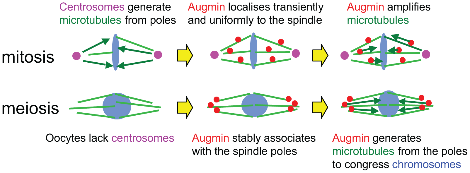 Stable association of Augmin with spindle poles compensate for the lack of centrosomes in oocytes.