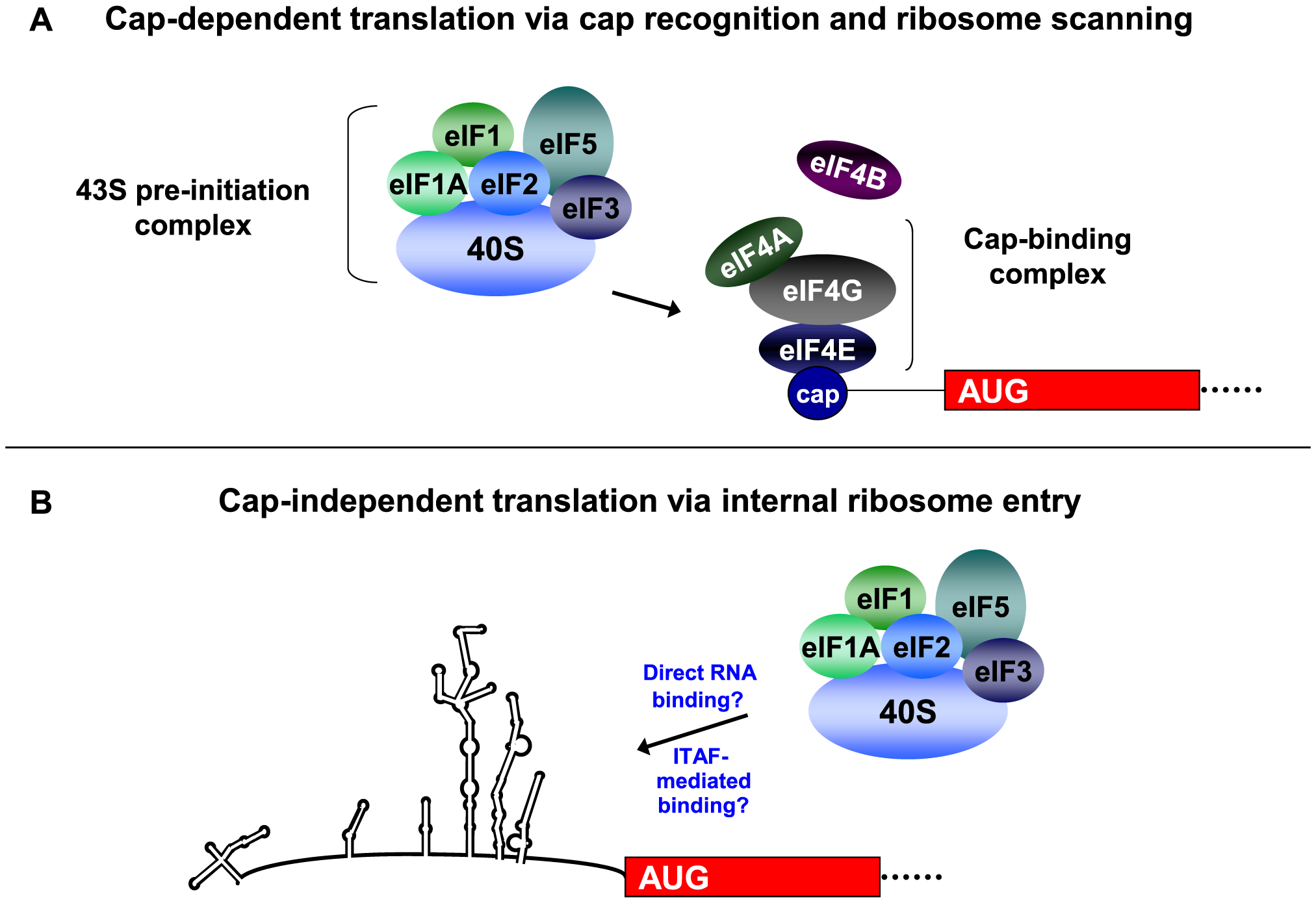 Recruitment of the 43S pre-initiation complex for cap-dependent and cap-independent translation initiation.