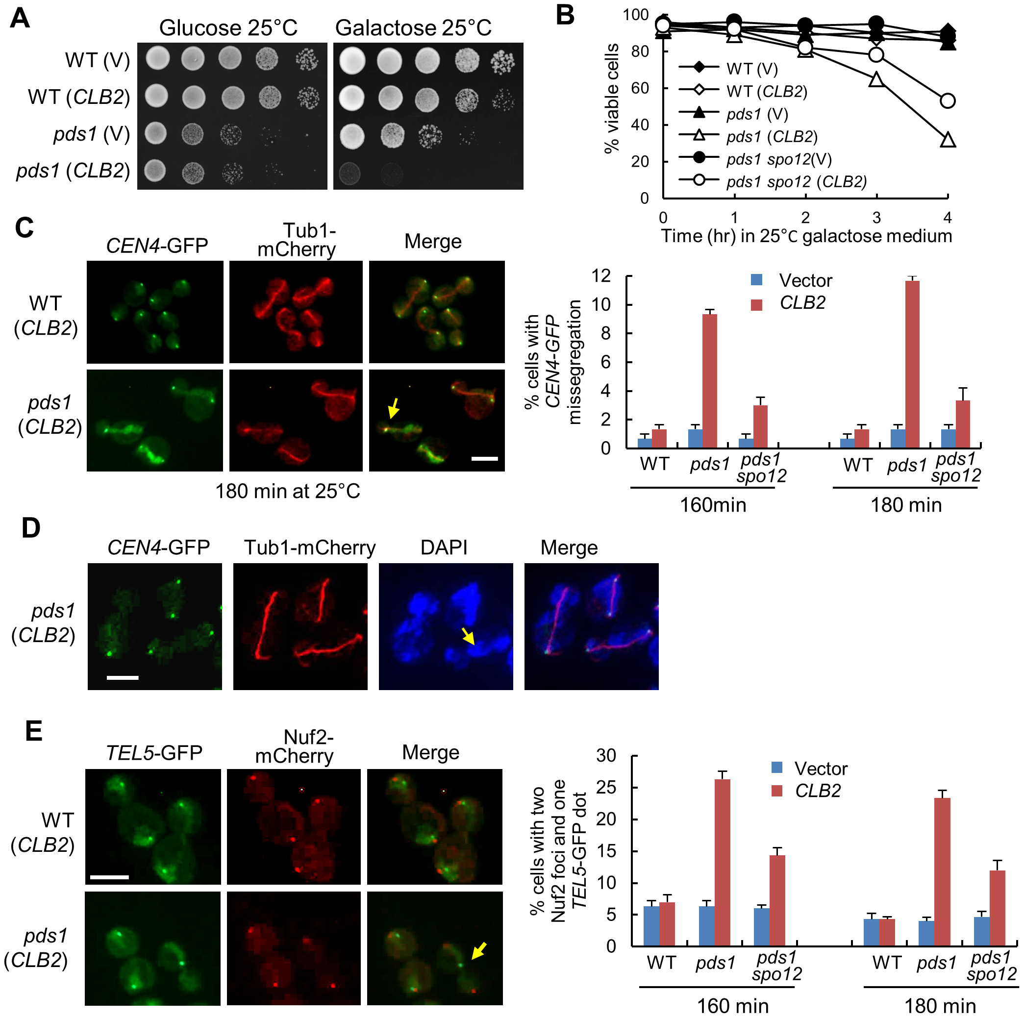 Overexpression of <i>CLB2</i> in <i>pds1</i>Δ mutants causes uncoupled sister-chromatid separation and spindle elongation.