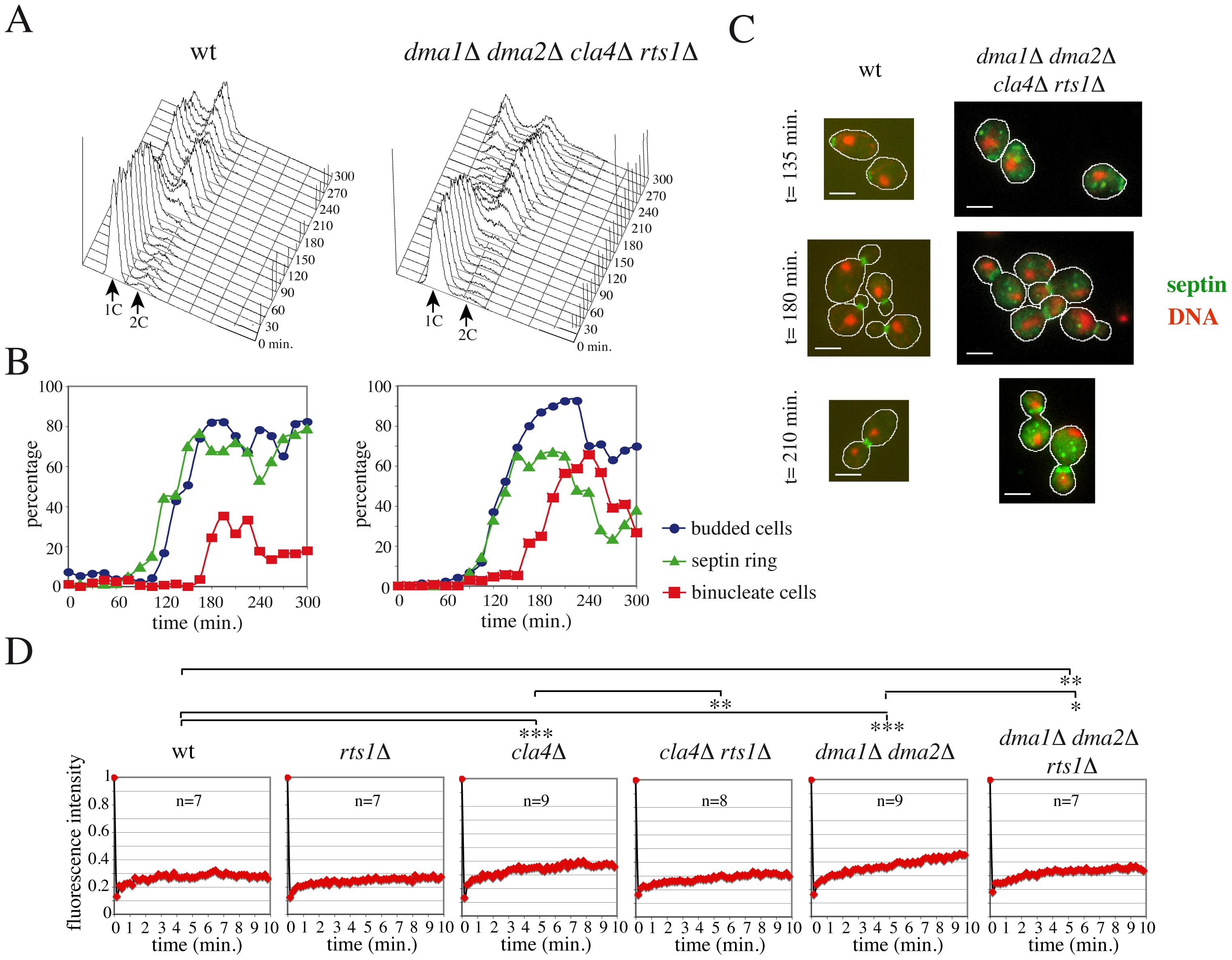 <i>RTS1</i> deletion rescues septin defects of <i>dma1Δ dma2Δ cla4Δ</i> cells.