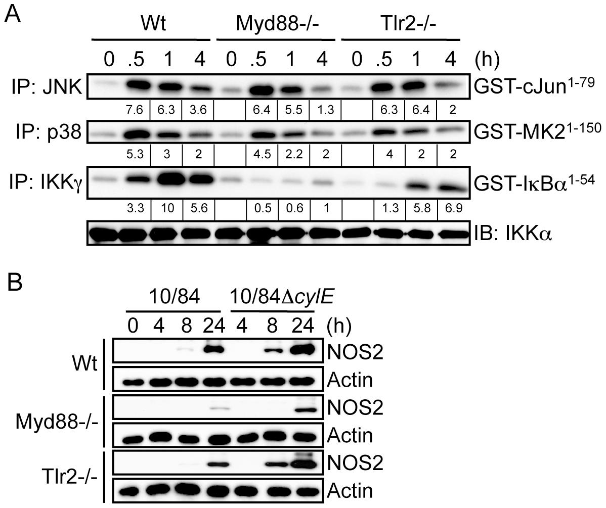 βh/c-mediated JNK and p38 activation is TLR2/MyD88-independent.