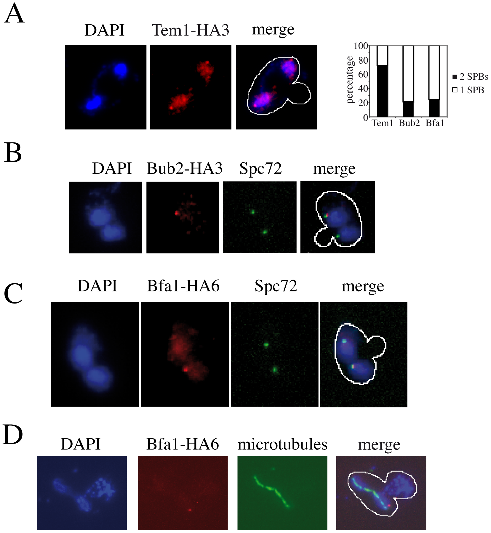 Asymmetric SPB localization of Bub2/Bfa1 in <i>dma1Δ dma2Δ cla4-75 swe1Δ</i> cells with mispositioned spindle.